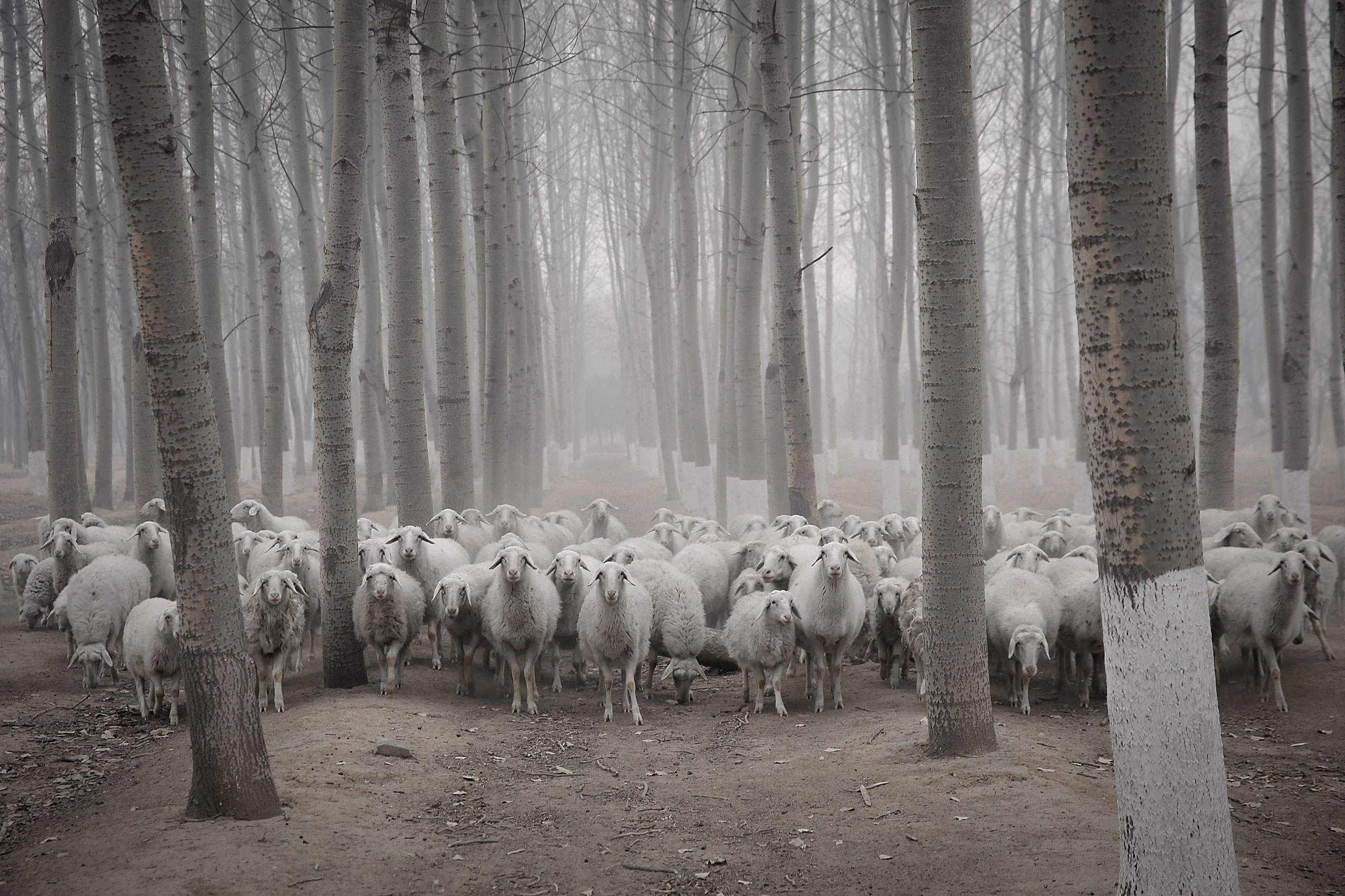 A flock of sheep walk in the haze in a Beijing suburb, China, Jan. 15, 2015.