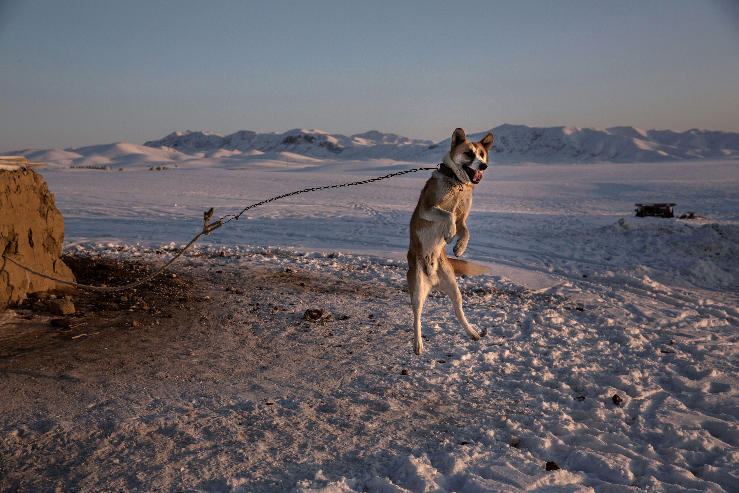 A shepherd dog leaps in the air as it protects a homestead next to a local eagle hunting competition in Qinghe County, Xinjiang, northwestern China, Jan. 30, 2015.