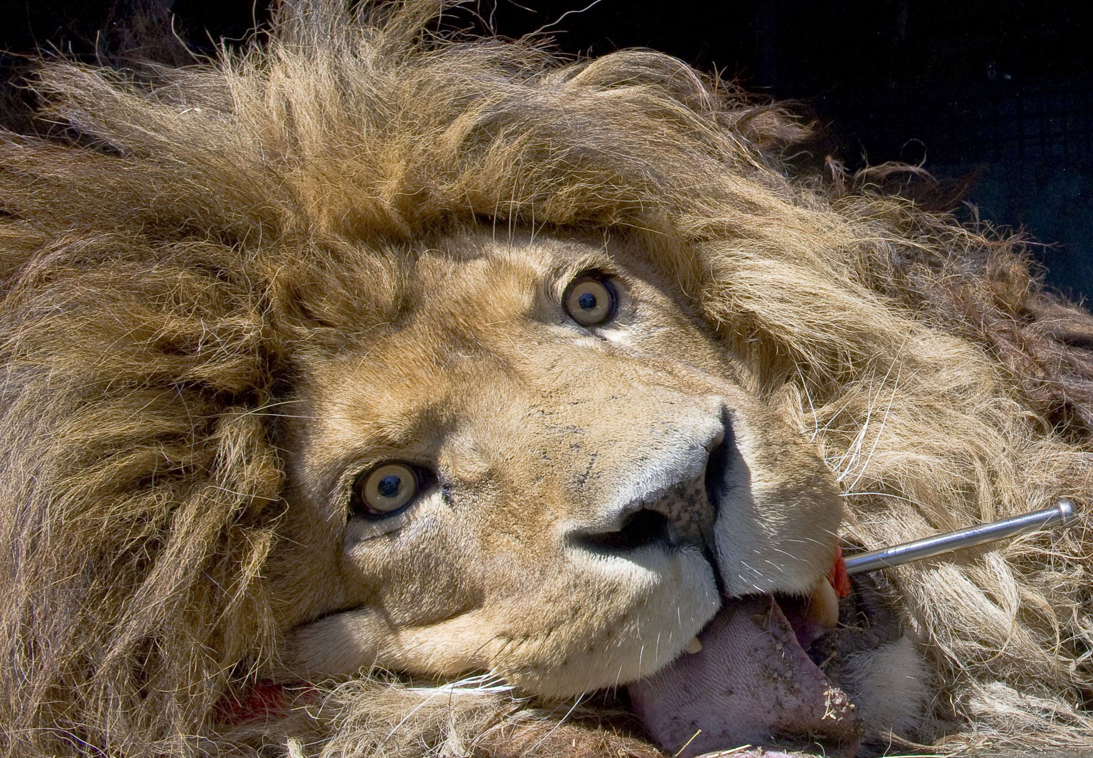 A lion, which was anesthetized, lies in a truck in Champetieres, France, during the evacuation of over 160 animals from the Bouy zoo. The zoo is in compulsory liquidation and its owner was jailed for international trafficking of protected species by an organized gang. April 9, 2015.