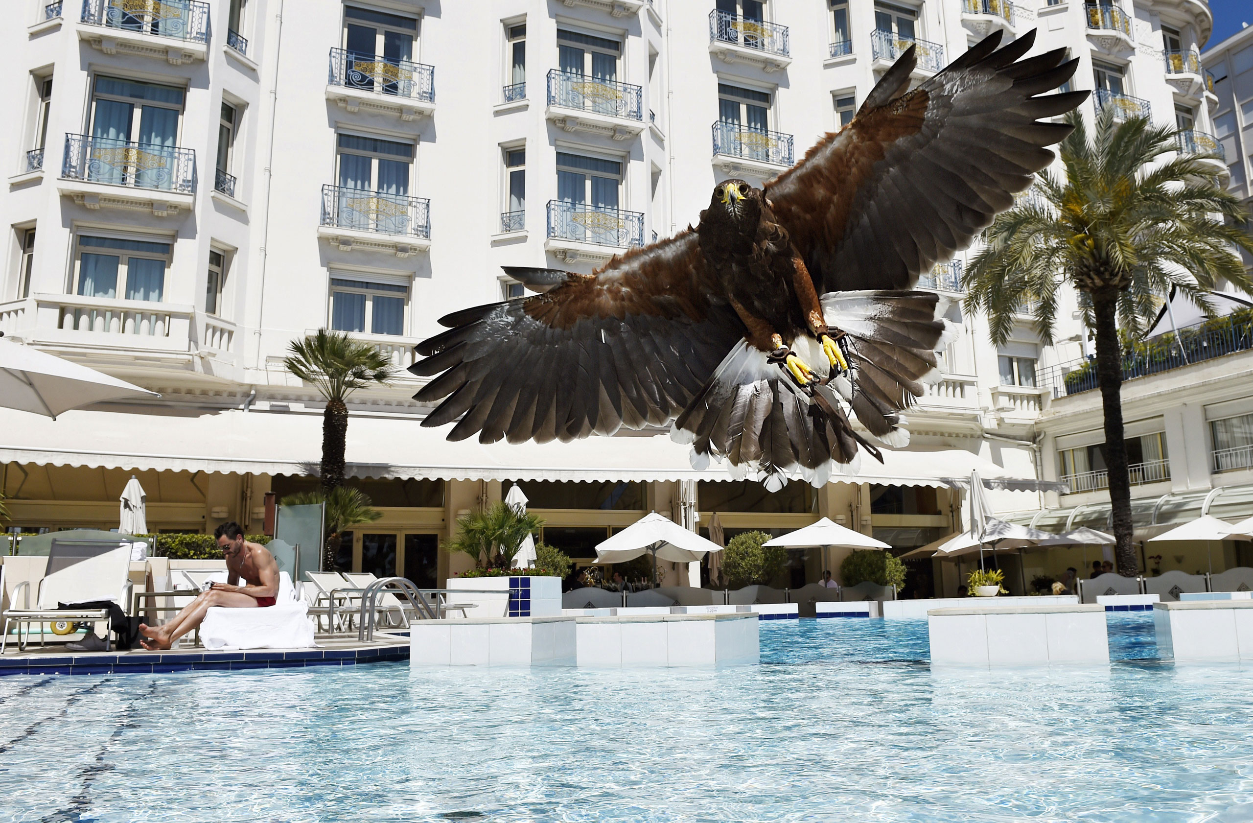 A hawk flies over the swimming pool of the Grand Hyatt Cannes Hotel Martinez during the 68th Cannes Film Festival in Cannes, France, May 20, 2015.