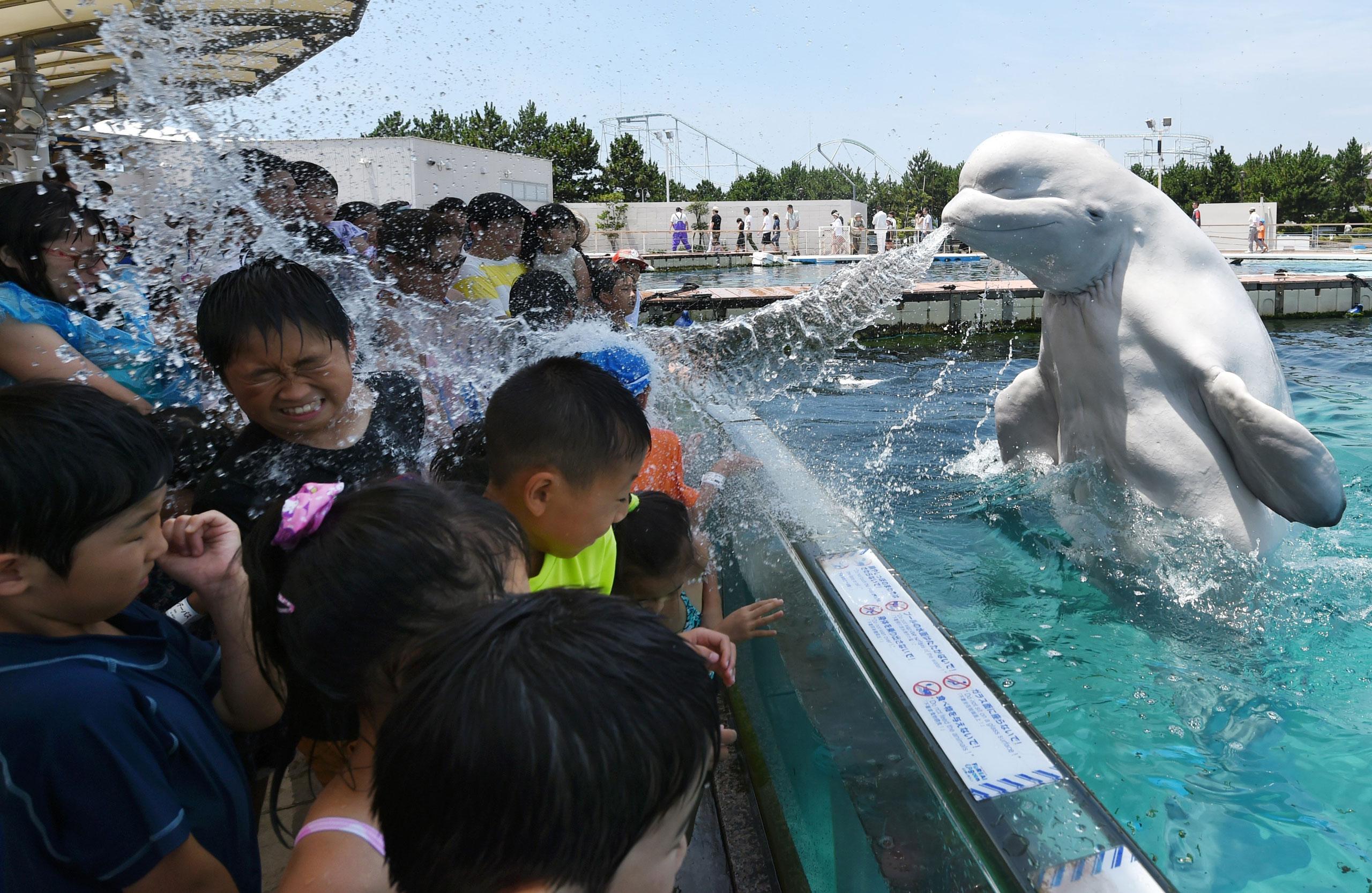 A beluga whale sprays water towards visitors during a summer attraction at the Hakkeijima Sea Paradise aquarium in Yokohama, suburban Tokyo, Japan, July 20, 2015.