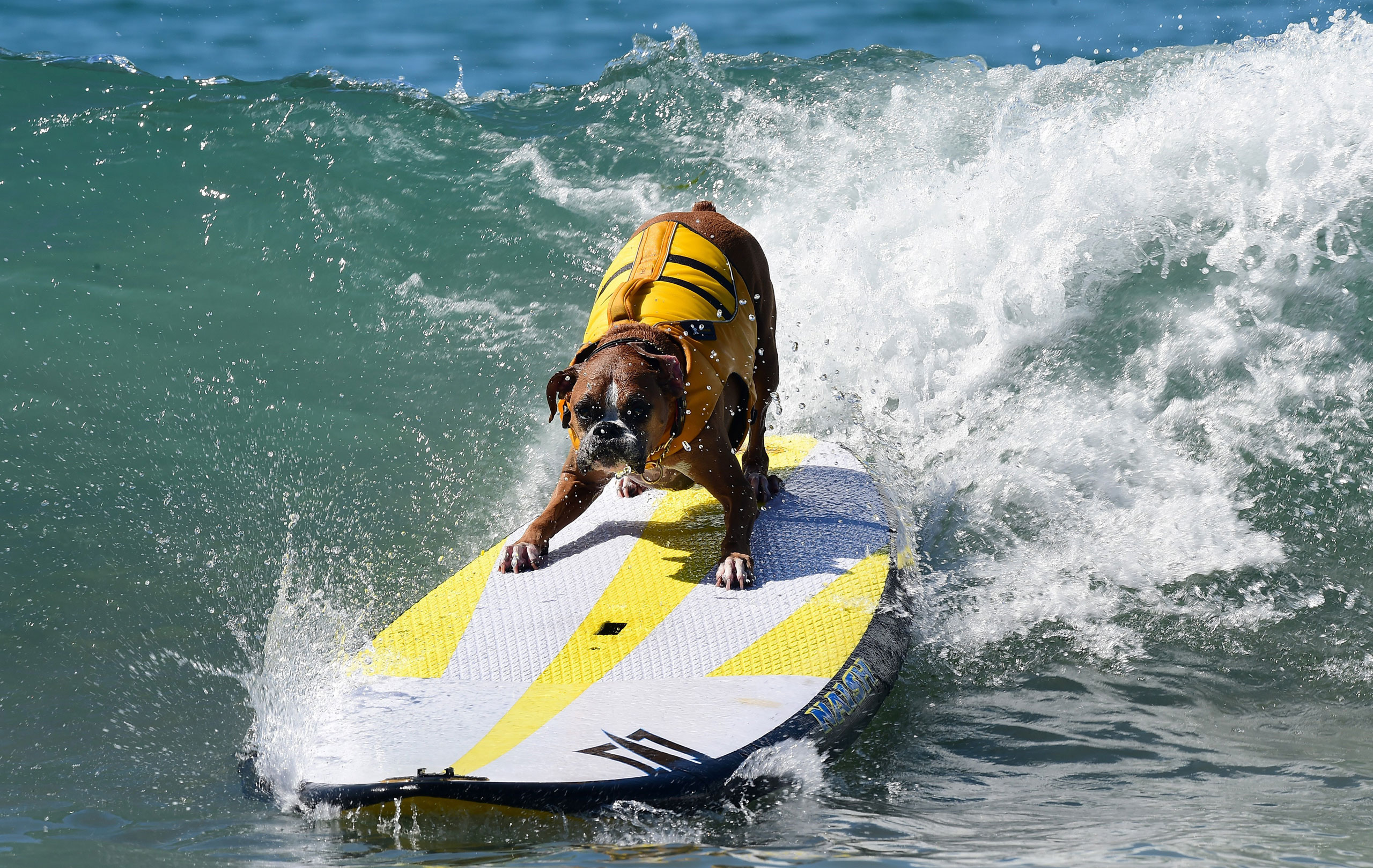 Dogs, big and small, and some in tandem or with their owner, participate in the 7th annual Surf City Surf Dog contest in Huntington Beach, Calif., Sept. 27, 2015.