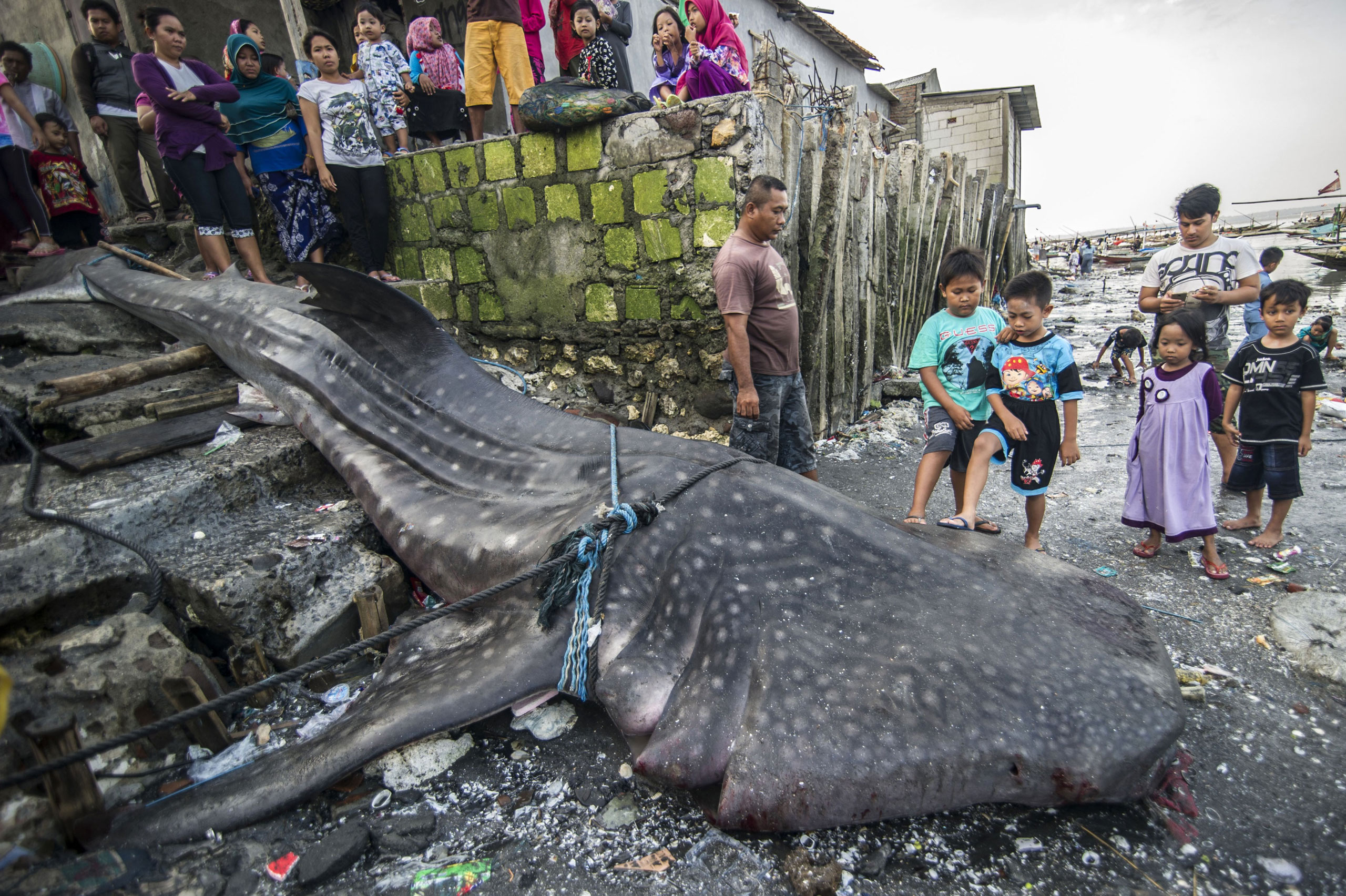 Locals gather around the carcass of a dead whale shark, caught by fishermen in the sea off of Surabaya, on the East Java island, Indonesia, Oct. 12, 2015.