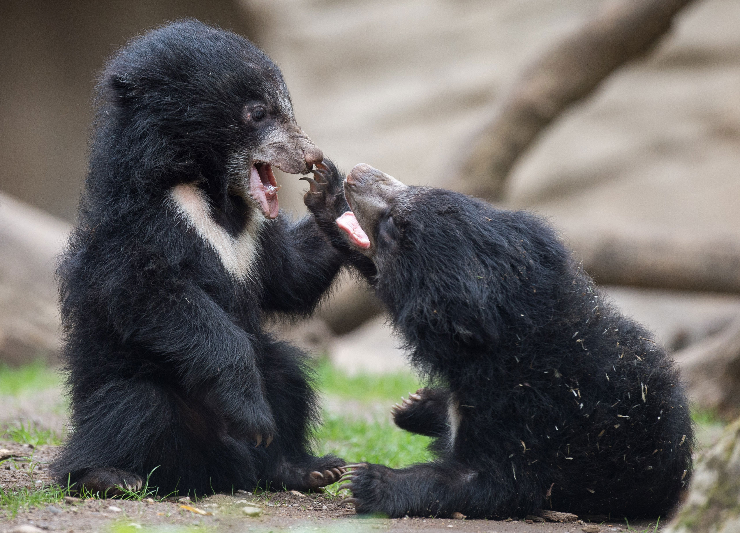 Two young sloth bears play in the zoo in Leipzig, Germany, May 5, 2015.