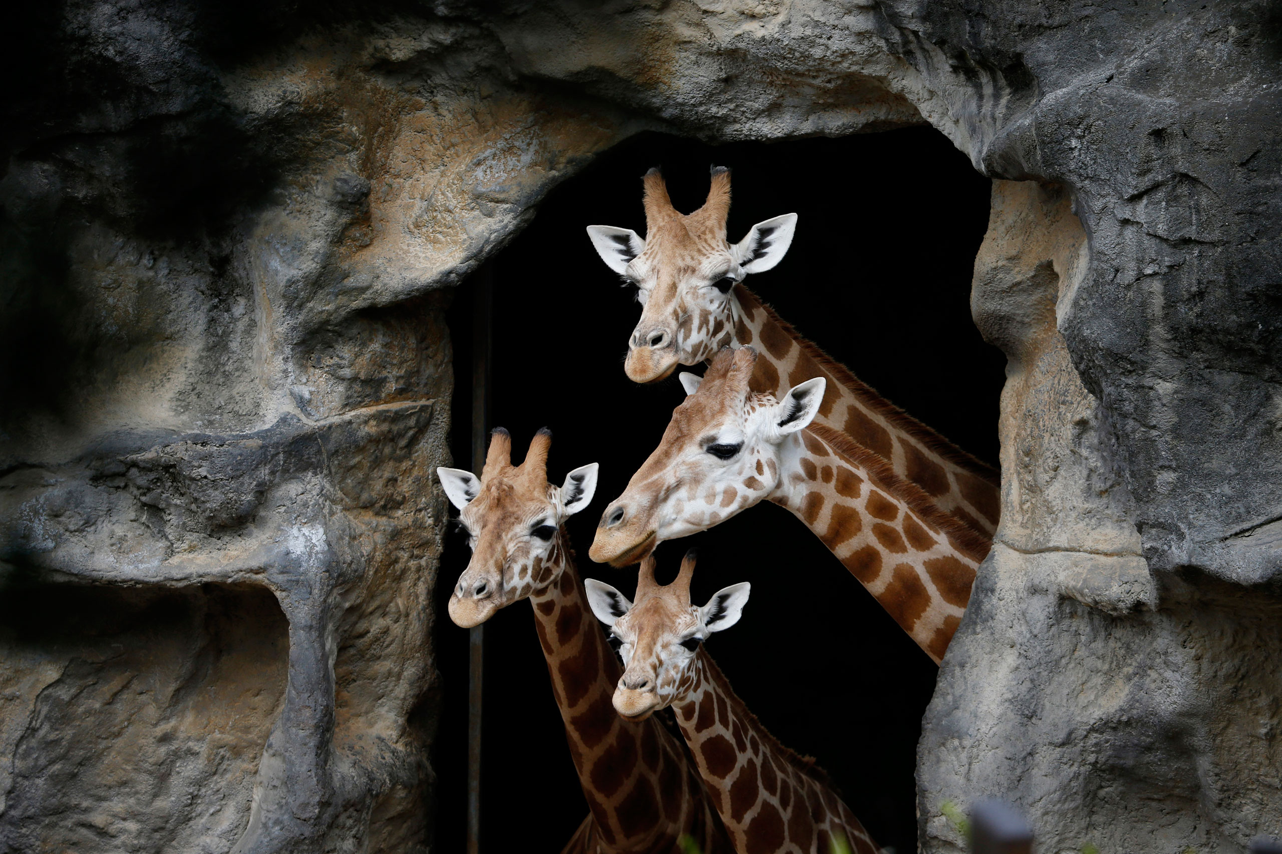 A family of giraffes looks out from their enclosure before taking part in a Christmas-themed feeding session at Sydney's Taronga Park Zoo, Australia, Dec. 9, 2014.