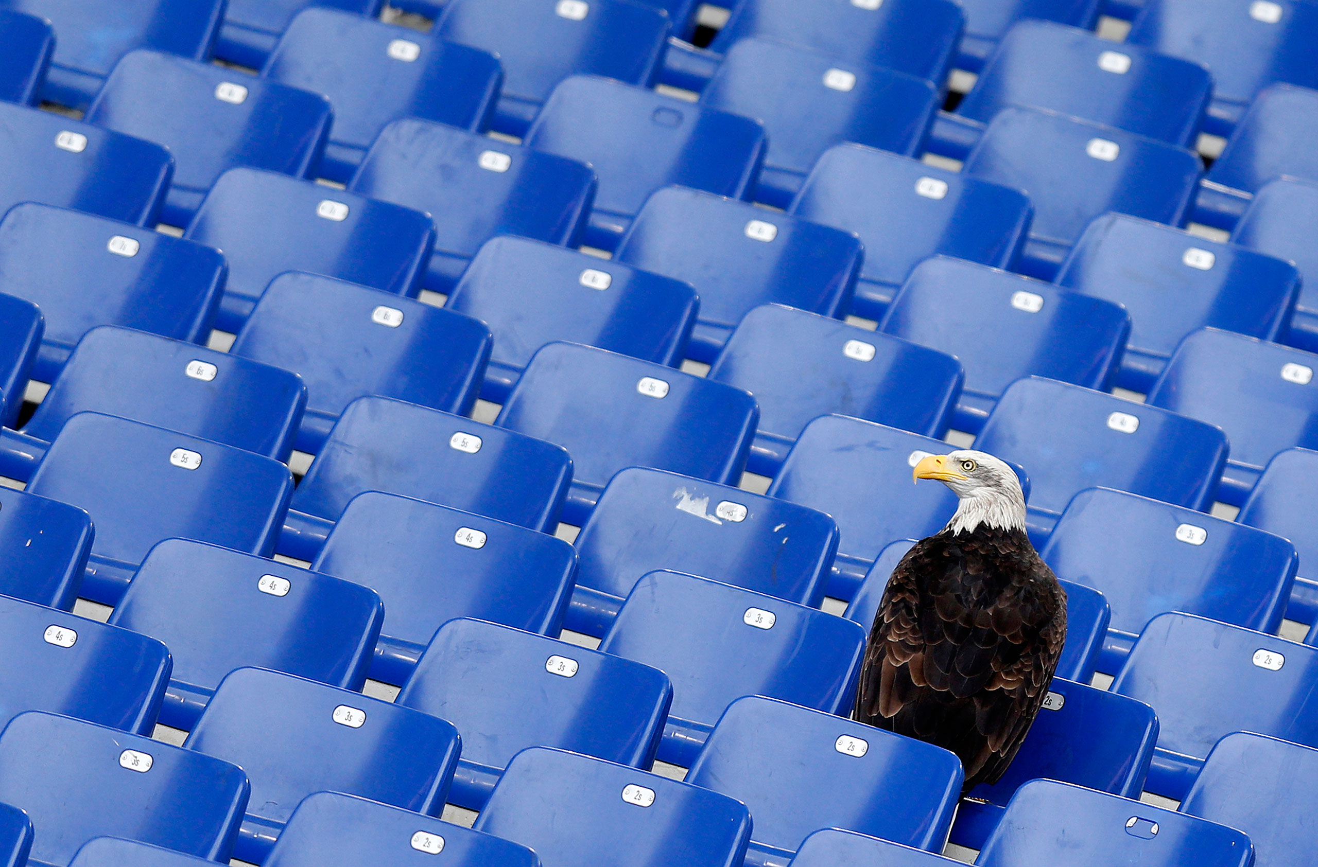A white headed eagle called Olimpia, mascot of Italian football team Lazio, lands in the stands before the start of the Italian Serie A soccer match against Napoli at the Olympic stadium in Rome, Italy, Jan. 18, 2015.