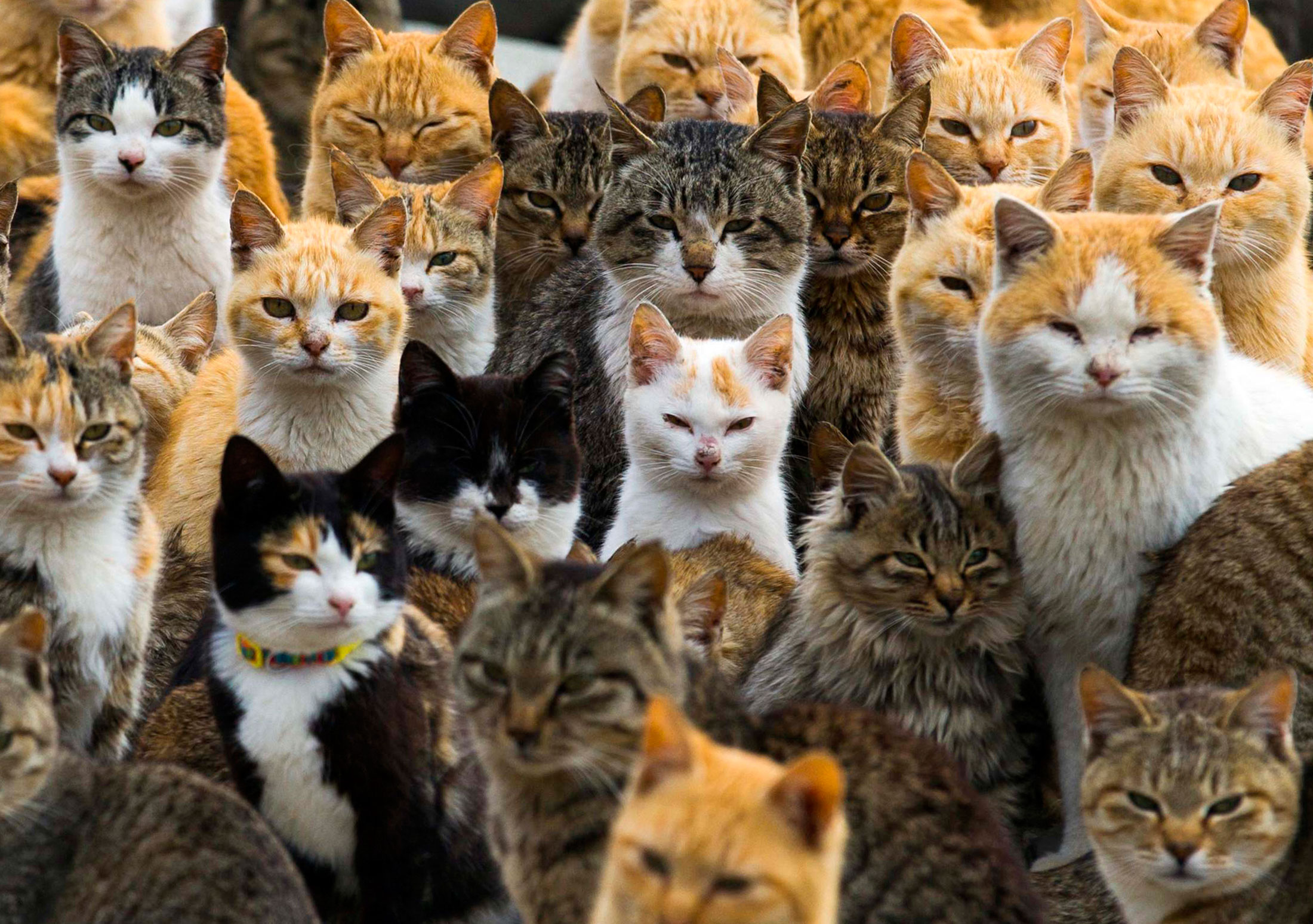 Cats crowd the harbor on Aoshima Island in the Ehime prefecture in southern Japan, Feb. 25, 2015. An army of cats rules the remote island in southern Japan, curling up in abandoned houses or strutting about in a fishing village that is overrun with felines outnumbering humans six to one.