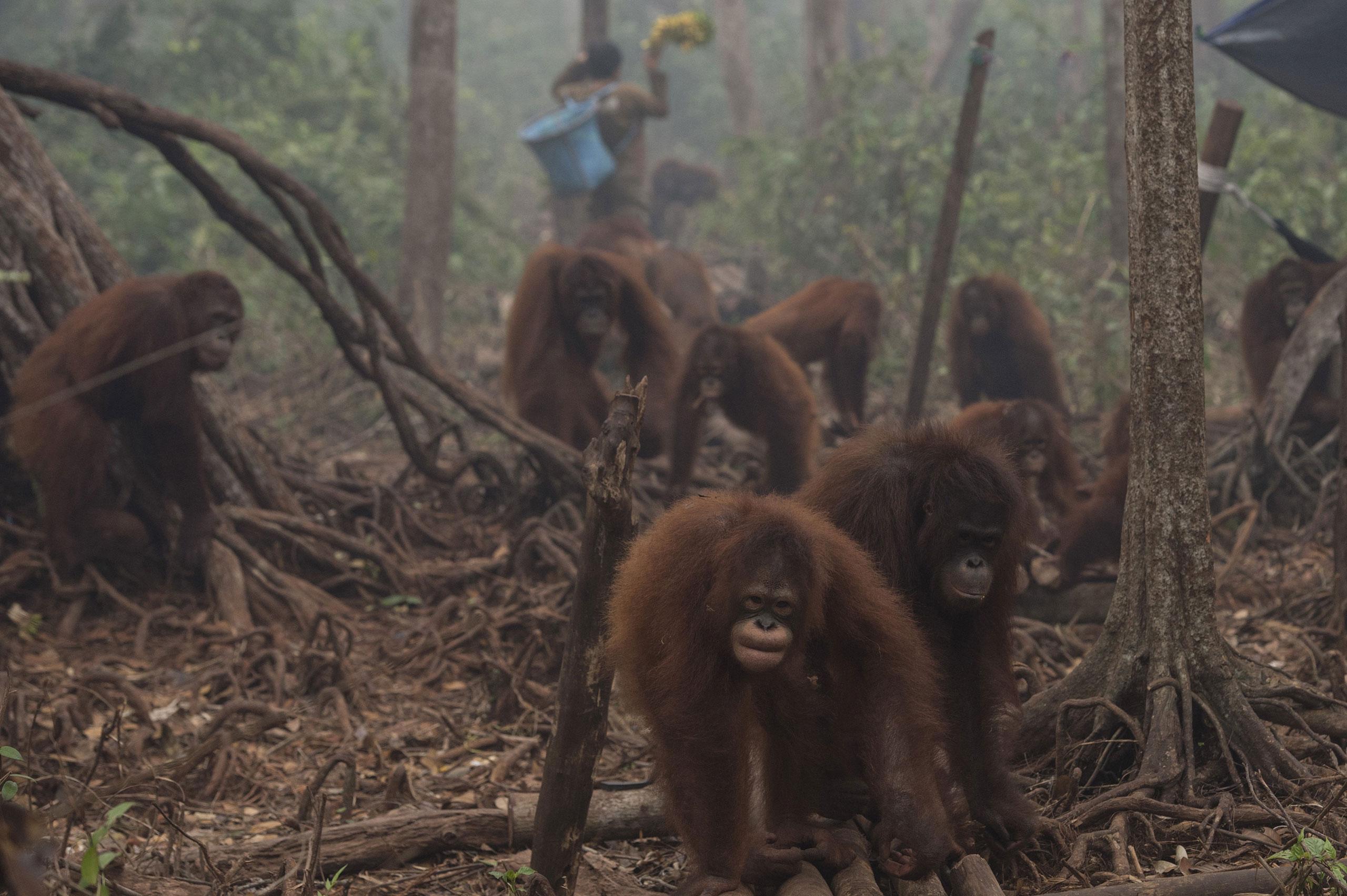 Orangutans walk as haze shrouds Borneo Orangutan Survival Foundation camp in Nyaru Menteng, Indonesia's Central Kalimantan province, Oct. 5, 2015.