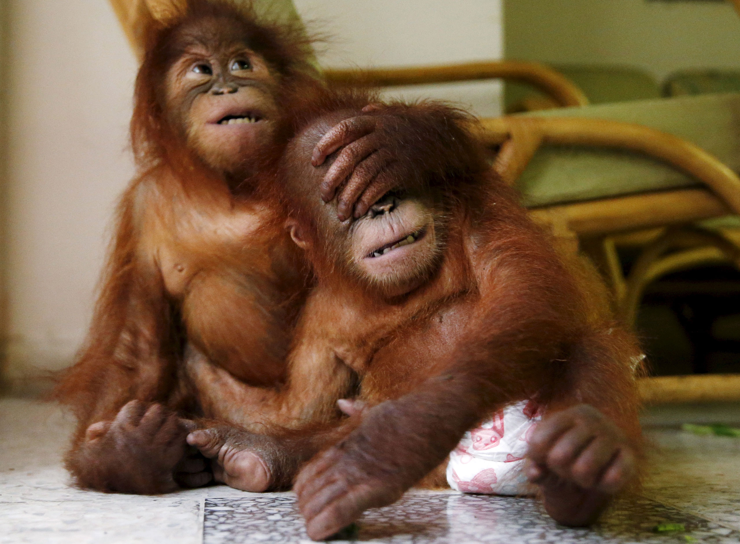 Two baby orangutans play with each other at the wildlife department in Kuala Lumpur, Malayasia, Oct. 19, 2015. The Malaysian wildlife department in July seized two baby Sumatran orangutans, found in duffel bags, from traffickers who were attempting to sell them to buyers in Malaysia.