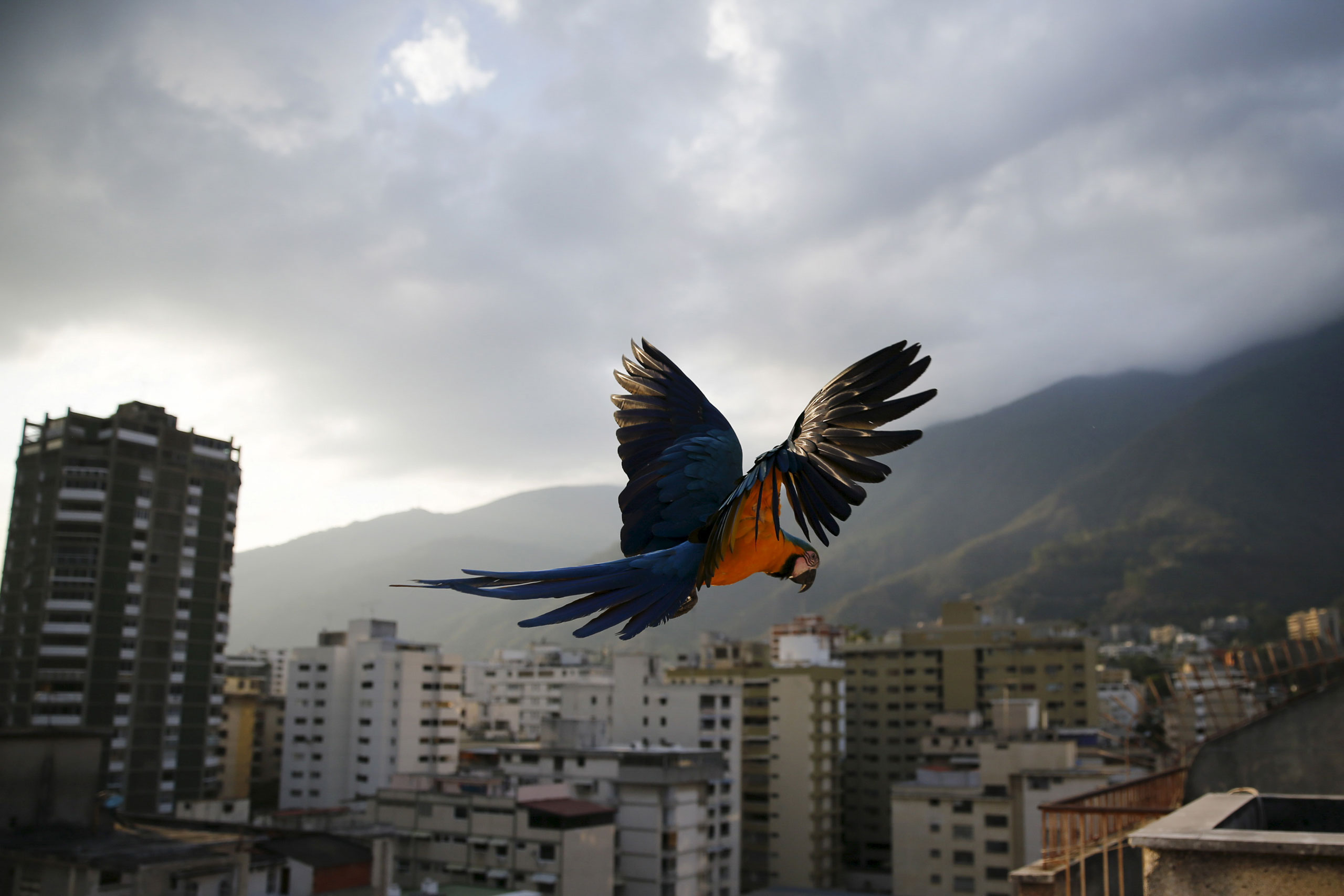 A macaw flies over buildings with the Avila mountain behind, Caracas, Venezuela, March 31, 2015.