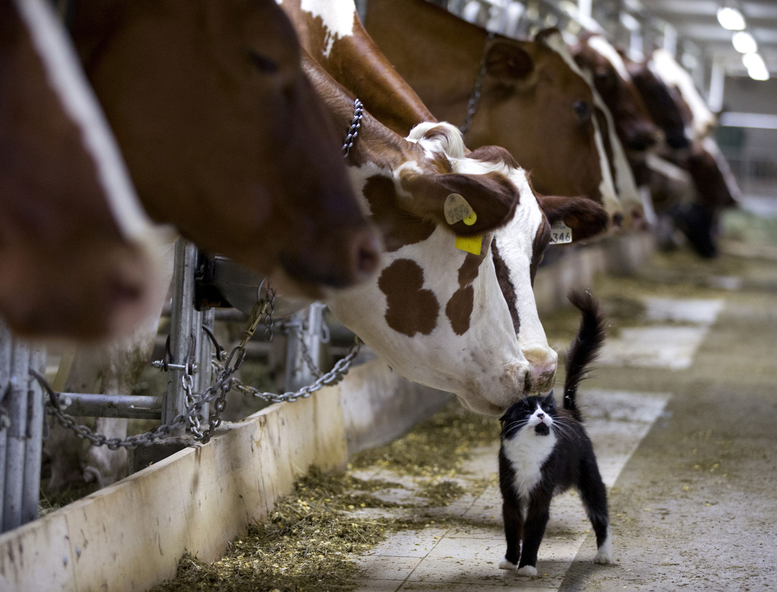 Dairy cows nuzzle a barn cat as they wait to be milked at a farm in Granby, Quebec, July 26, 2015.
