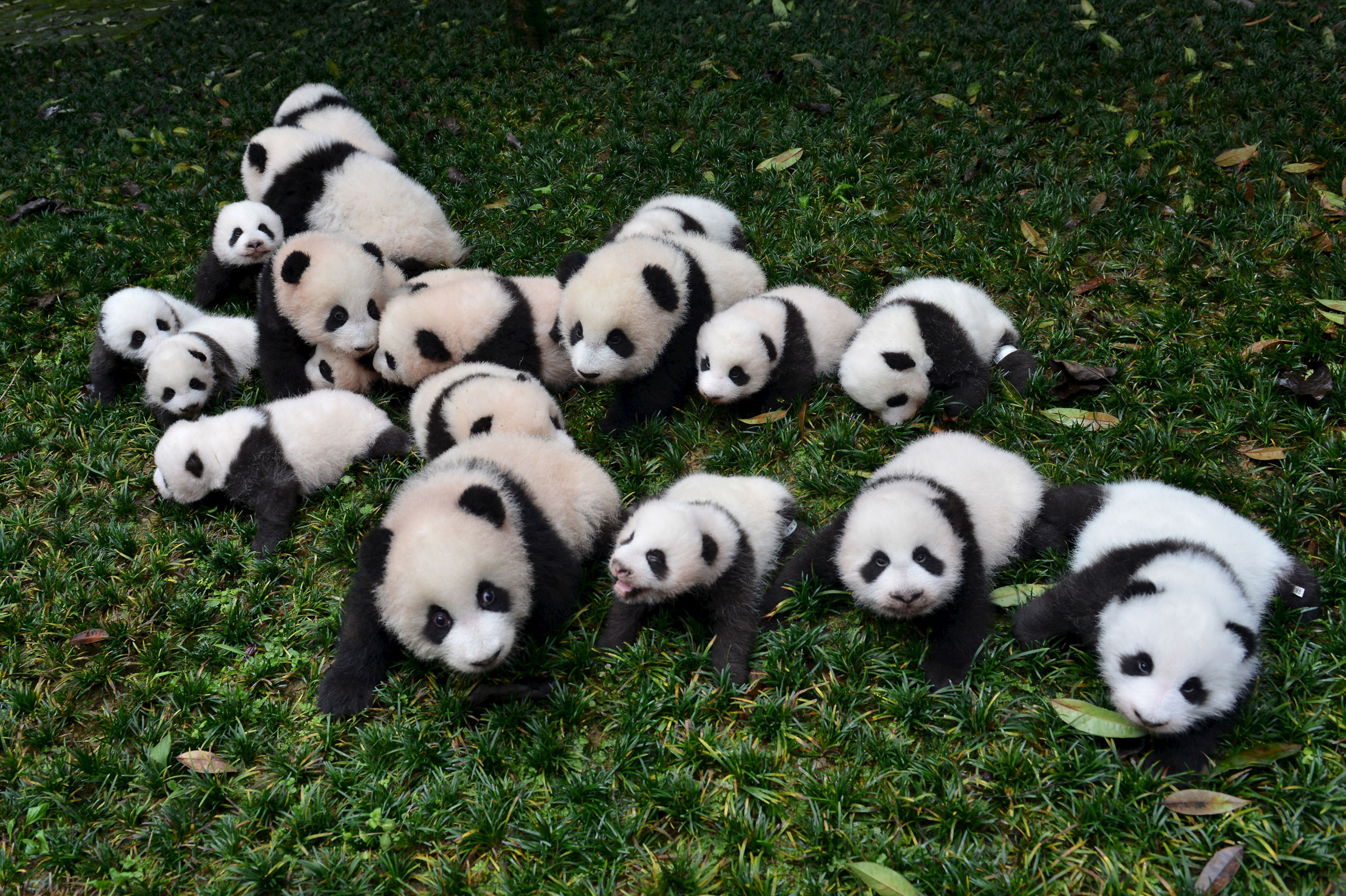 Baby pandas born in 2015 are placed on grass for pictures during a photo opportunity at a giant panda breeding centre in Ya'an, Sichuan province, China, Oct. 24, 2015.