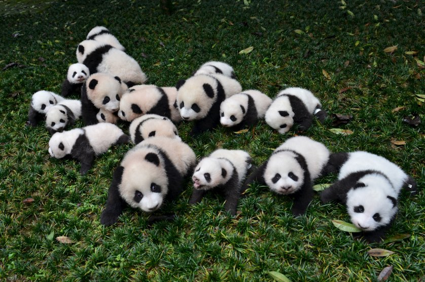 Baby pandas born in 2015 are placed on grass for pictures during a photo opportunity at a giant panda breeding centre in Ya'an