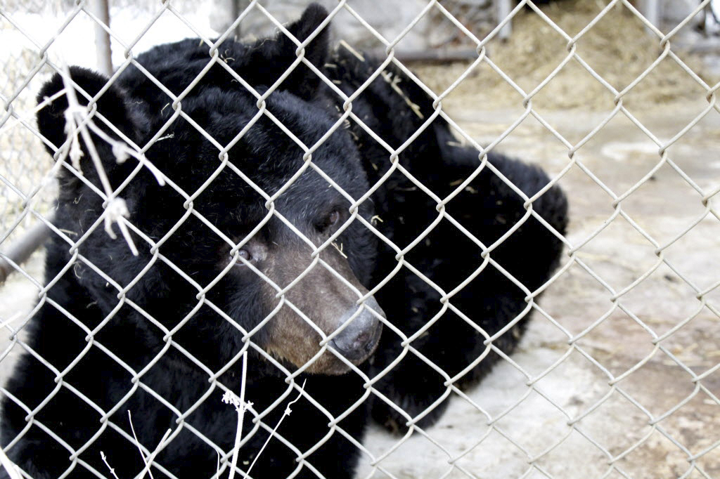 Archie, a 41-year-old black bear, has been euthanized in Ohio.