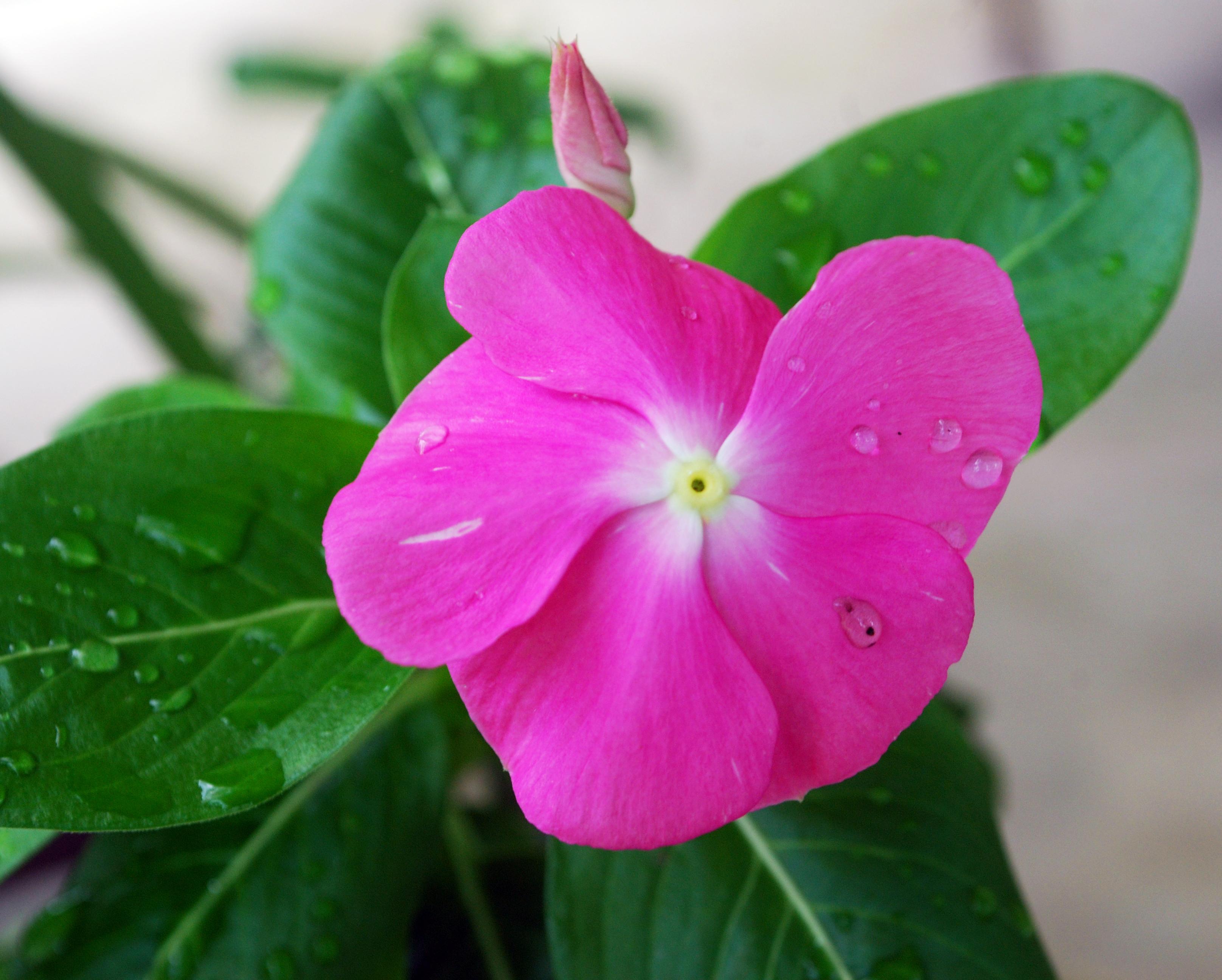 Nayantara flower (Catharanthus roseus), Sylhet, Bangladesh.
