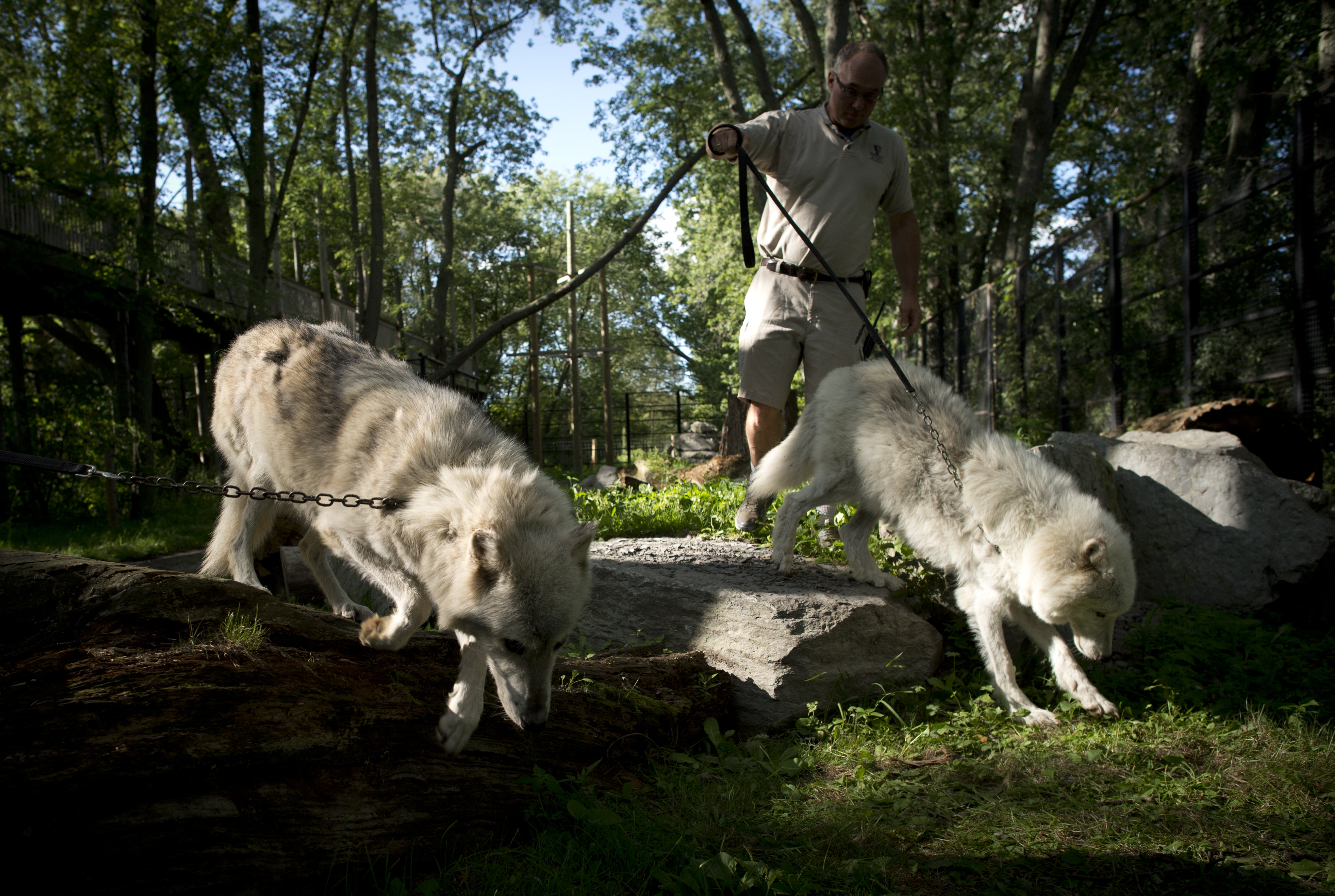 Michael Hackenberger transports an arctic wolf and a grey wolf their pen into the cat barn at the Bowmanville Zoo, August 17, 2012.