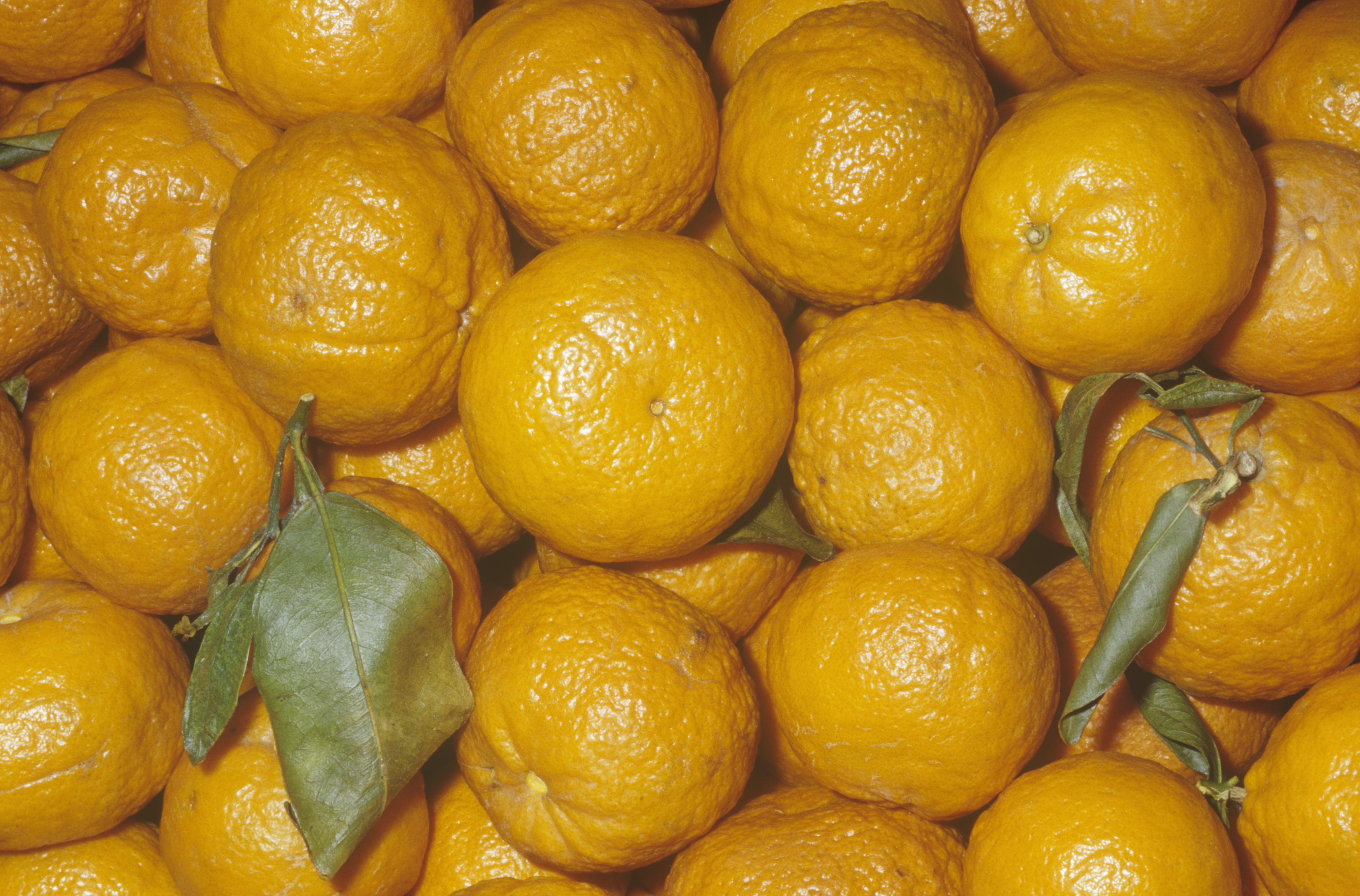 Page mandarins are bright and tasty, but they disappear by February.
