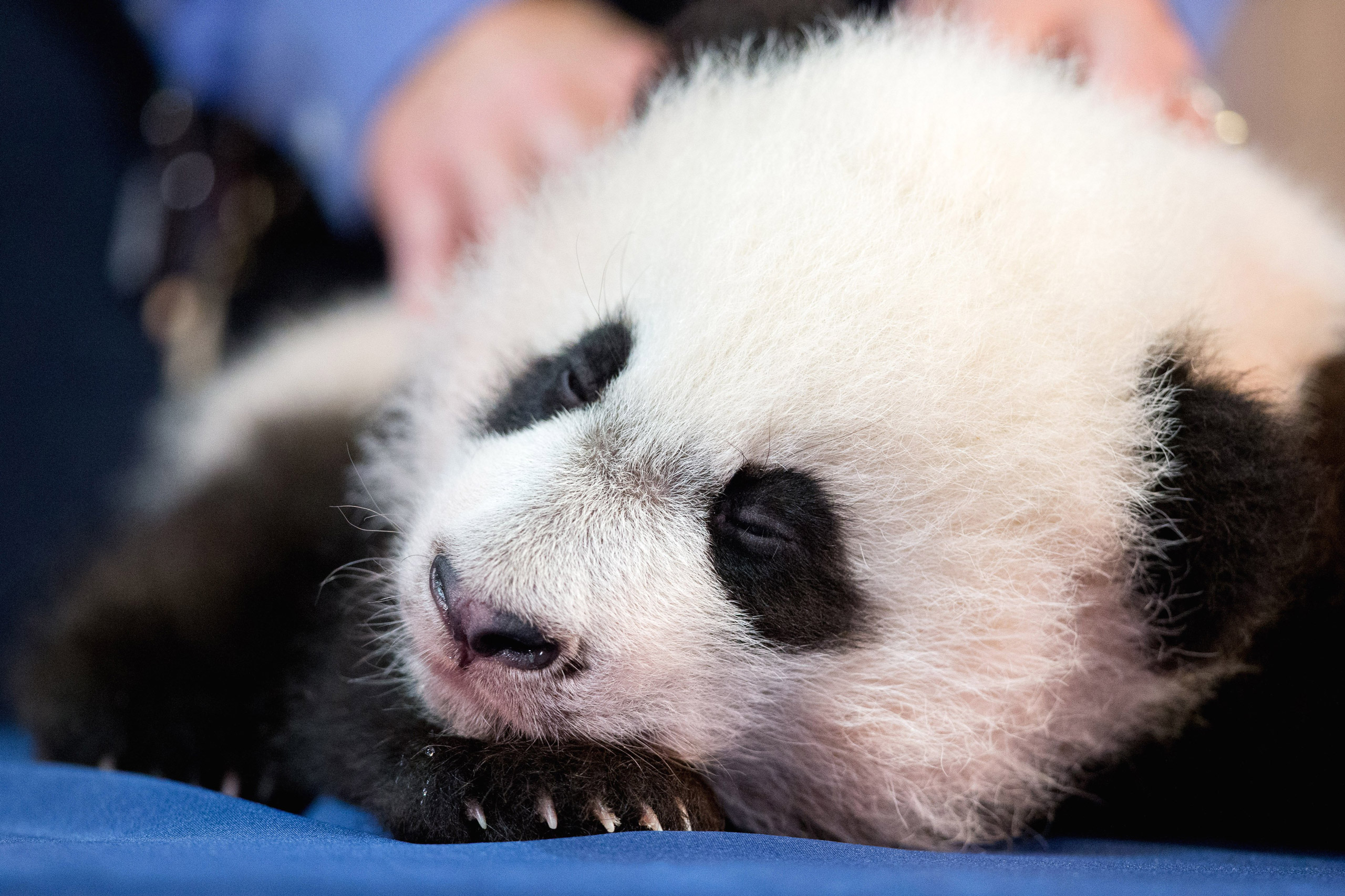 Bei Bei, the National Zoo's newest panda and offspring of Mei Xiang and Tian Tian, falls asleep during his first media appearance at the National Zoo in Washington on Dec. 14, 2015.