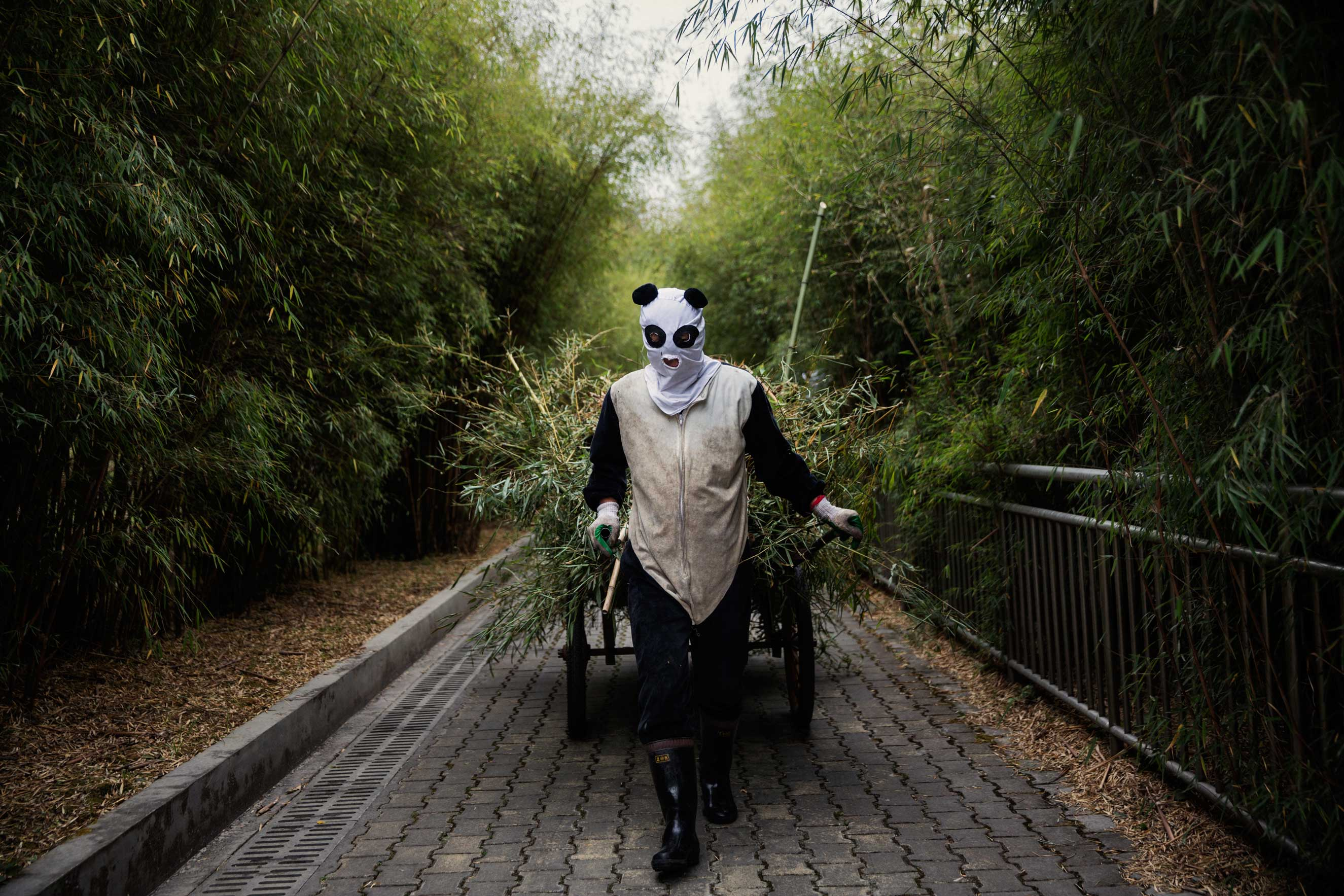 An employee wearing a panda costume pulls a cart of dung and bamboo branches from one of the panda enclosures, Dec. 1, 2015.