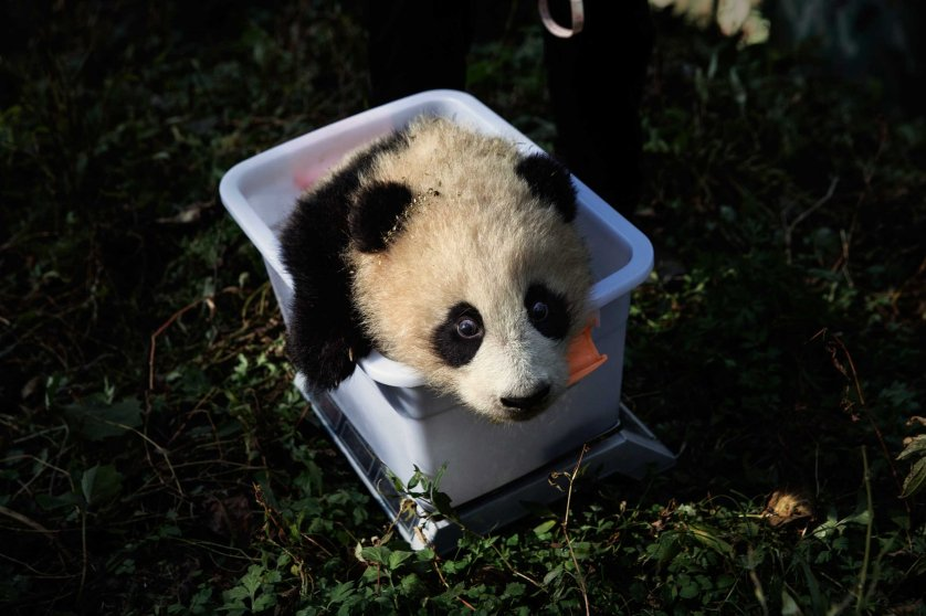 A panda awaits its check up at the Wolong National Nature Reserve, Sichuan Province, China, Dec. 1, 2015.
