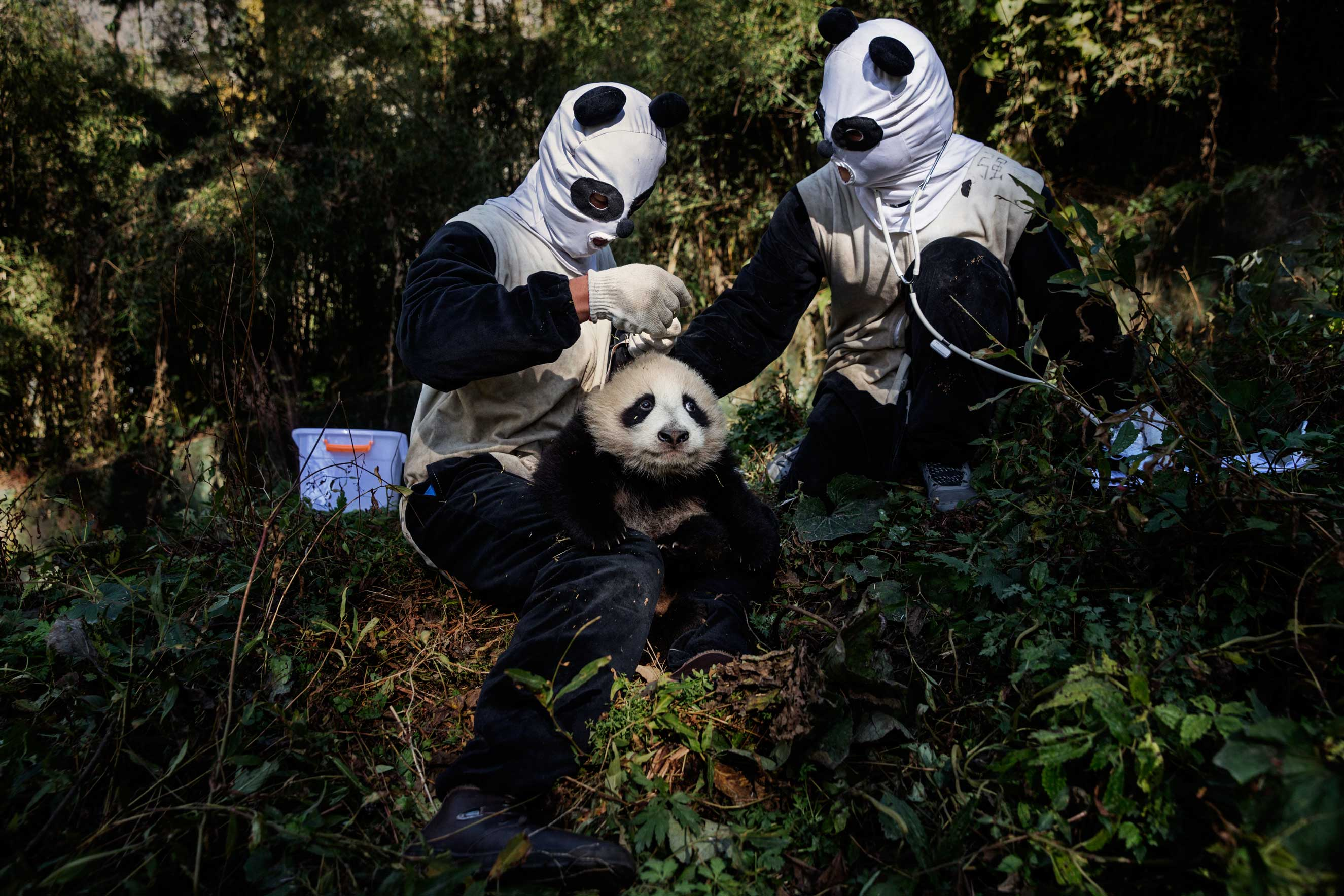 Researchers, dressed in panda costumes, check a 4 month old, female panda at the Hetaoping Research and Conservation Center, for the Giant Panda at the Wolong National Nature Reserve, Sichuan Province, China, Dec. 1, 2015.
