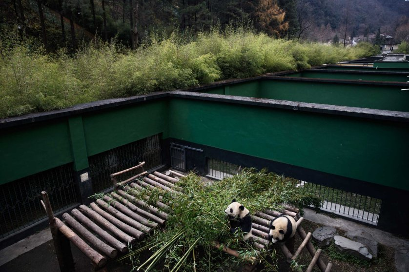 Pandas eat bamboo in their enclosure, Dec. 2, 2015.