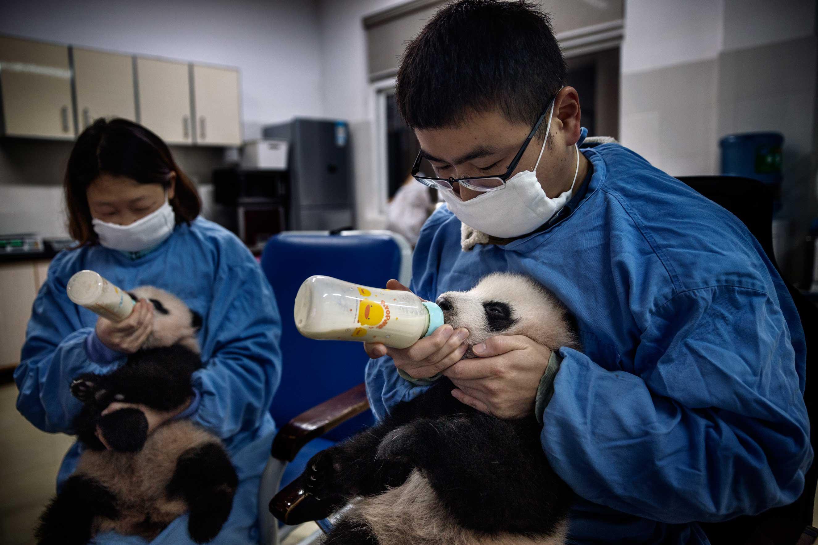 Milk is fed via bottles to the baby pandas in the nursery, Dec. 3, 2015.