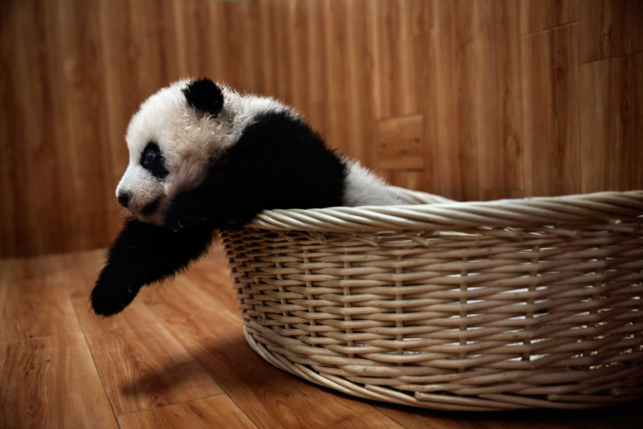 A baby panda rests after feeding time in the nursery at the Bifengxia Panda Base in Ya'an, Sichuan Province, China, Dec. 3, 2015.