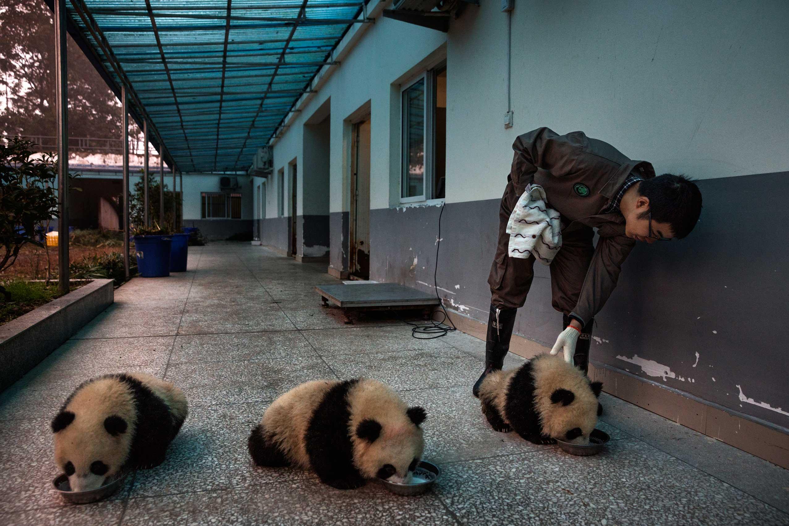 Milk is fed to baby pandas at the Bifengxia Panda Base, Dec. 3, 2015.