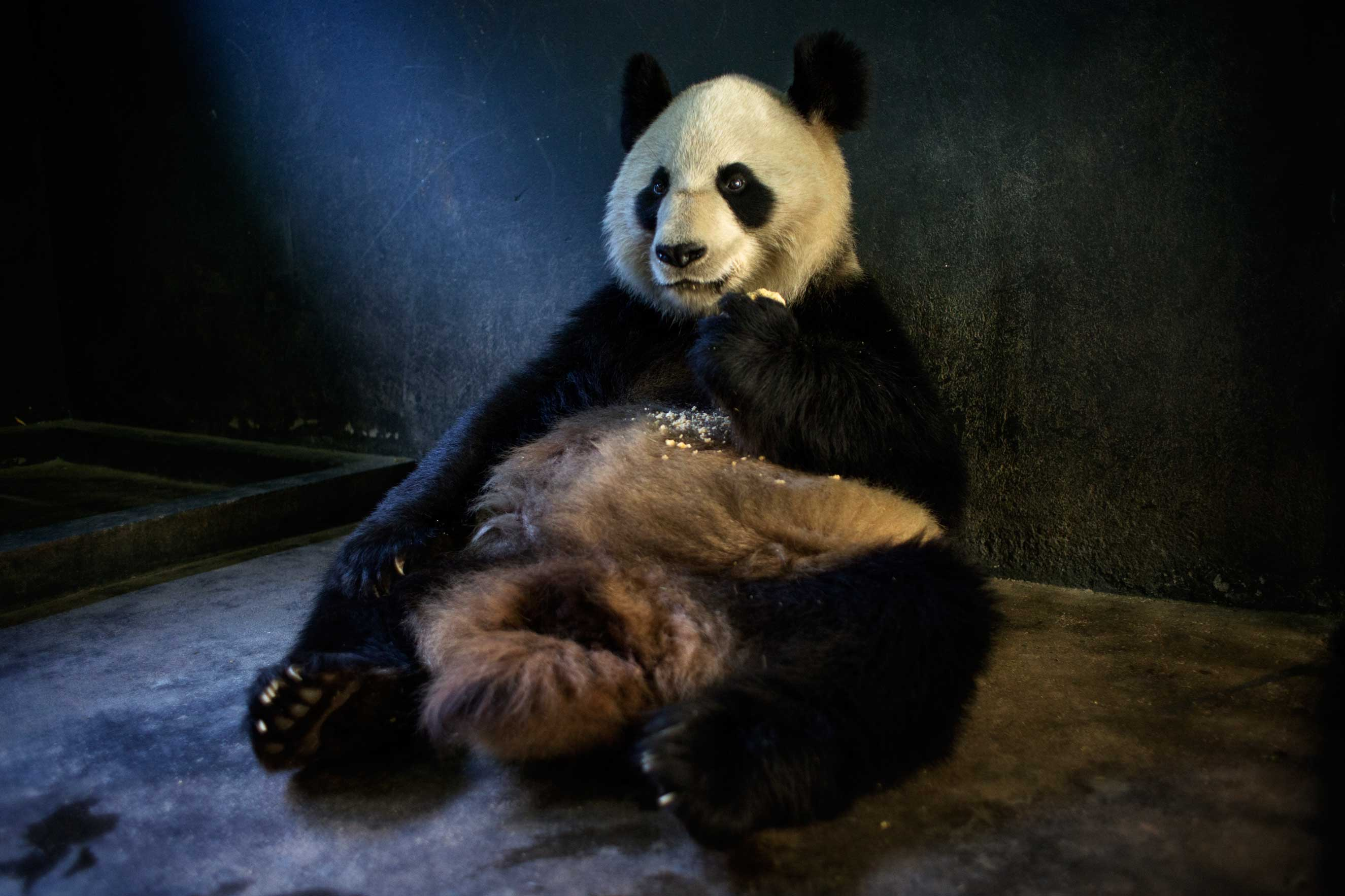 A panda eats specially made bread, that includes nutrients not provided in bamboo, Dec, 1, 2015.