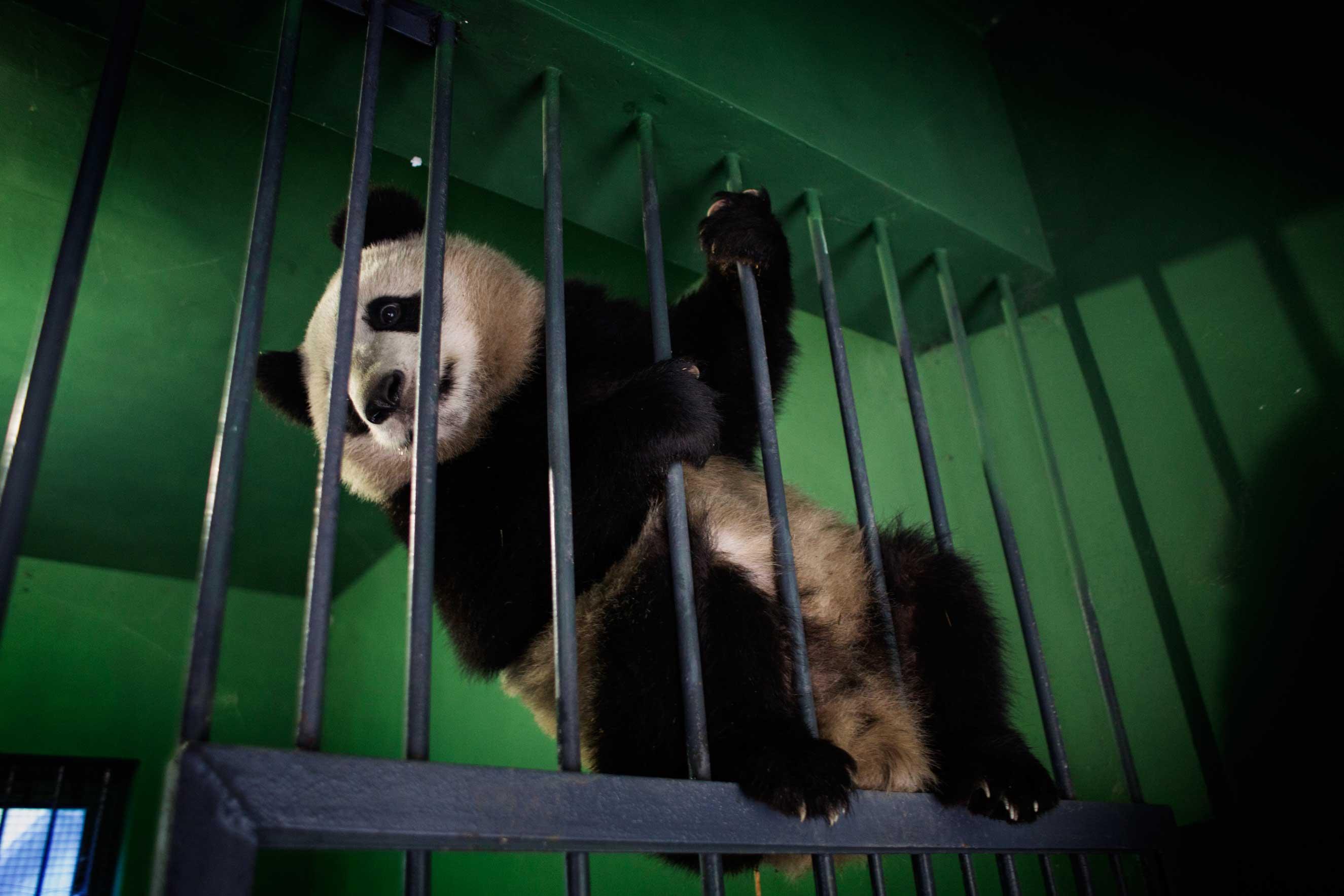 A panda plays in its enclosure, Dec. 1, 2015.