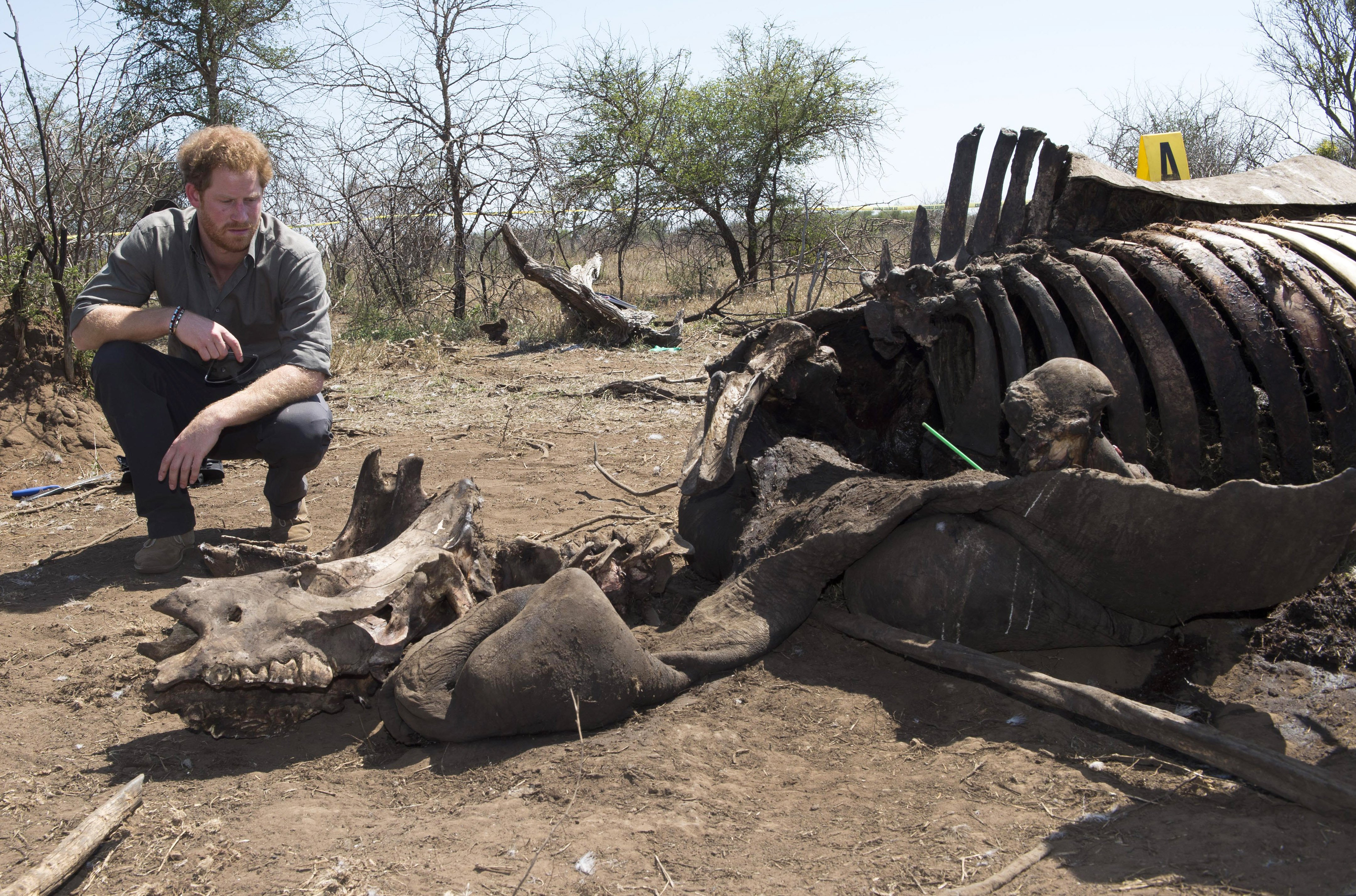 Prince Harry looks at the carcass of a rhino which was killed by poachers in Kruger National Park in Nelspruit, South Africa on Dec. 2, 2015.