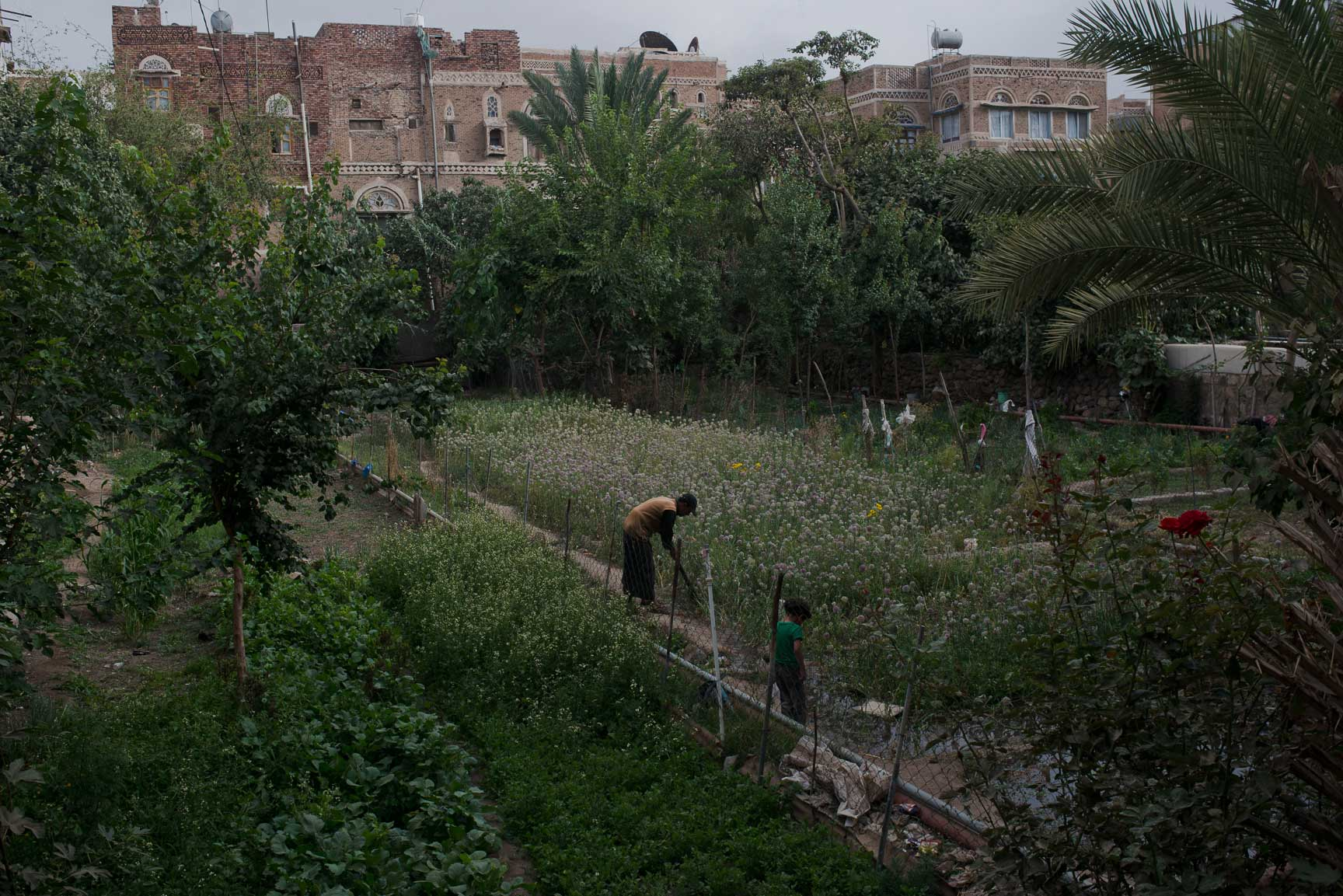 A Yemeni man tends to his vegetable garden on July 4, 2015 in Sana'a, Yemen. Old Sana'a used to be full of green gardens; most have now dried out due to water shortages.