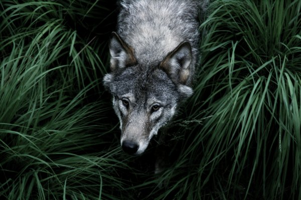 Wolf Hunting Norway 11 000 Hunters Line Up To Kill Wolves Time