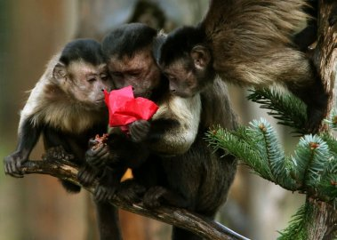 Capuchin monkeys explore a decoration containing their favorite treats on a Christmas tree at Edinburgh Zoo.