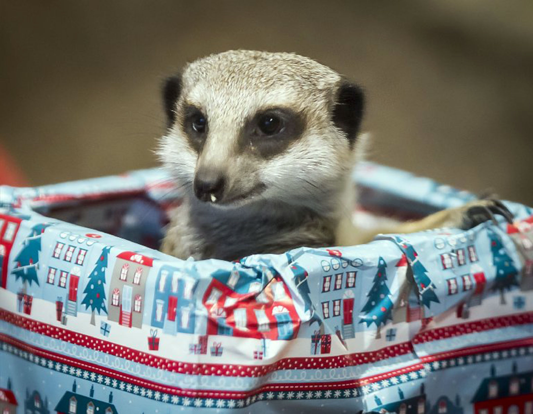 A meerkat at Edinburgh Zoo in Scotland peeks out from a package containing treats aboard a sleigh.