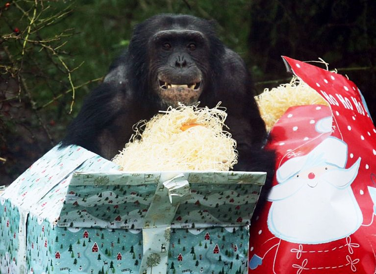 A chimpanzee at ZSL Whipsnade Zoo unwraps Christmas gifts stuffed with snacks.