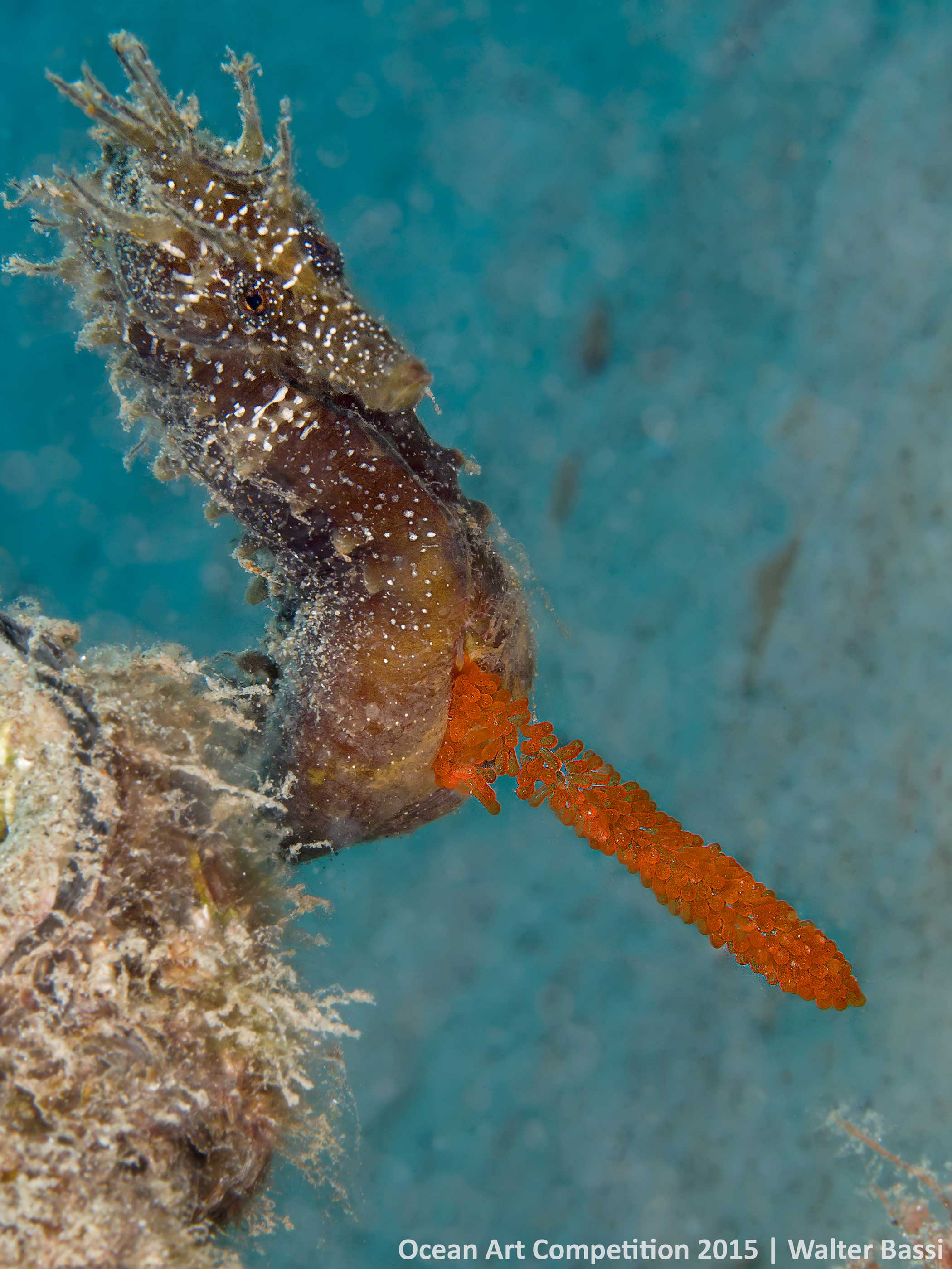 In my dive I saw the whole sequence of mating between male and female, like a dance in the blue, so much emotion. When you split a portion of eggs is left out of the belly of the male, the situation is very rare and unique. This picture was taken while the horse tries to retrieve the eggs.Fortunately he recovered completely. The main difficulty for me was not to bother the horse in order not to lose the eggs.  - Walter Bassi