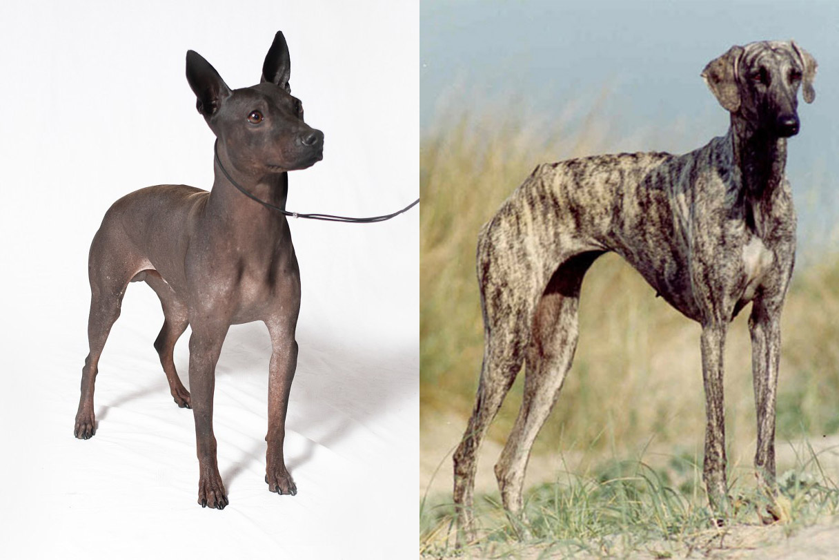 American Hairless Terrier (L); Sloughi