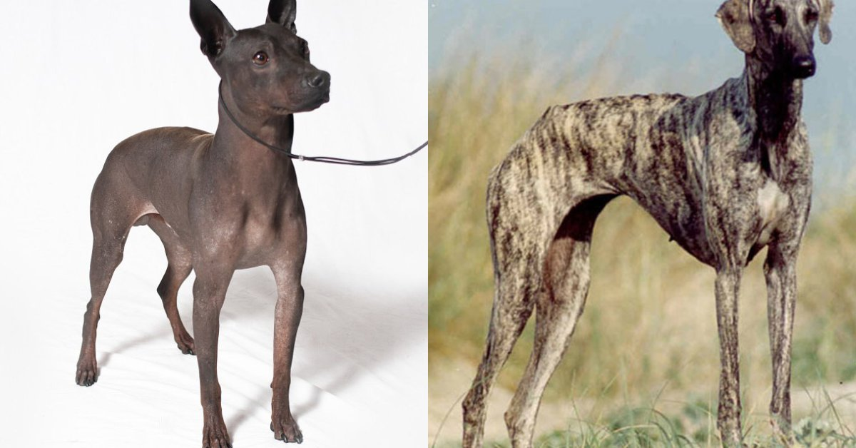 2 new dog breeds join American Kennel Clubs roster - CBS News
