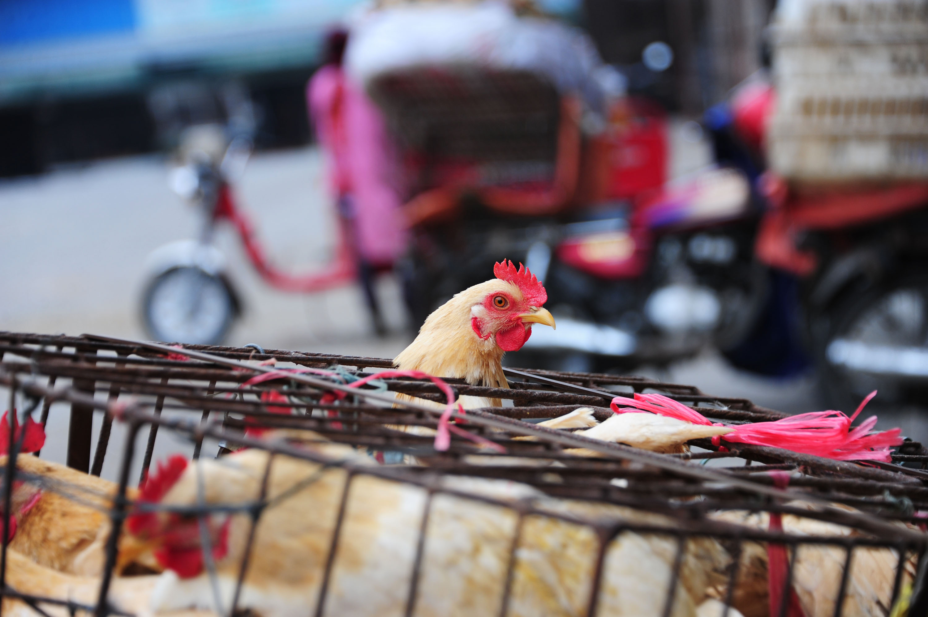 Live chickens for sale in a cage at a free market in Jiangmen city, south China's Guangdong province, on March 1, 2015