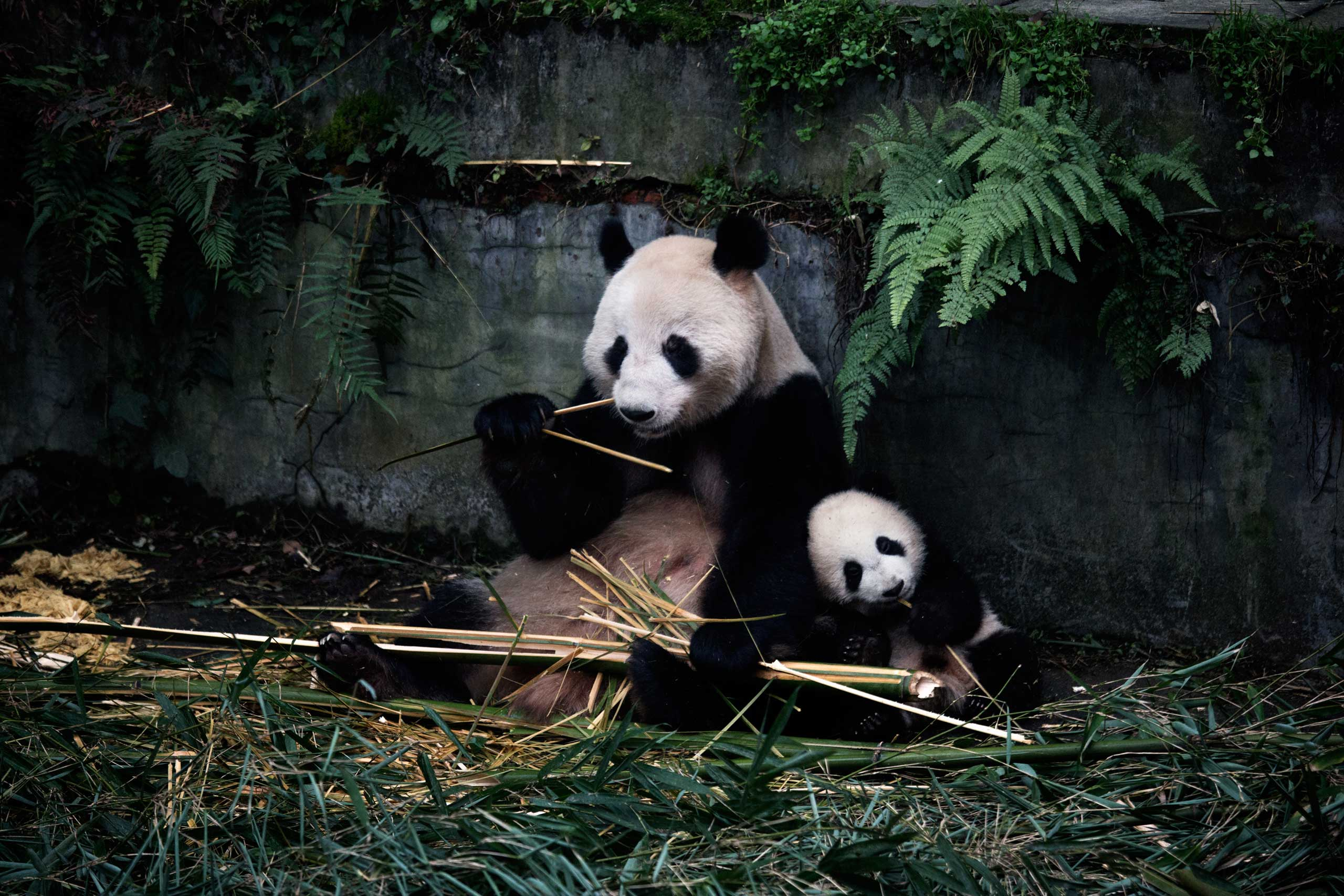 A panda and her baby eat bamboo in their enclosure at the Bifengxia Panda Base in Ya'an, Sichuan Province, China, Dec. 3, 2015.