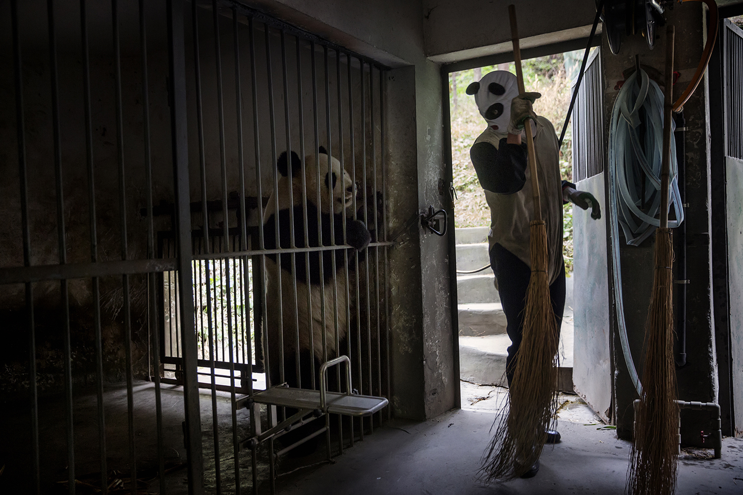 An employee dressed in a panda costume cleans one of the panda enclosures,  Dec. 1, 2015.