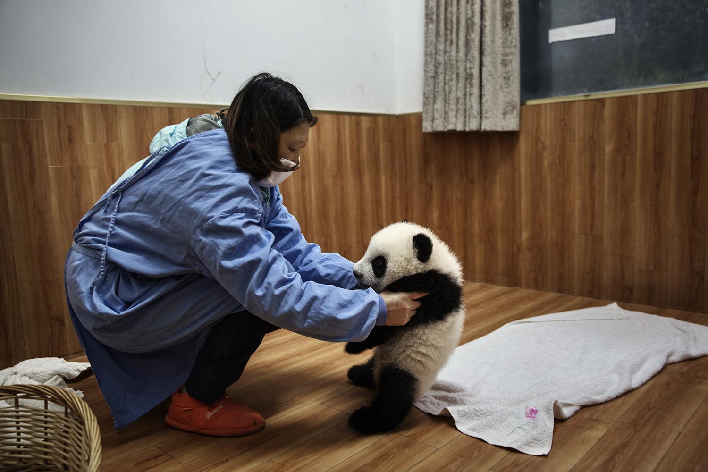 An employee plays with a baby panda at the Bifengxia Panda Base, Dec. 3, 2015.
