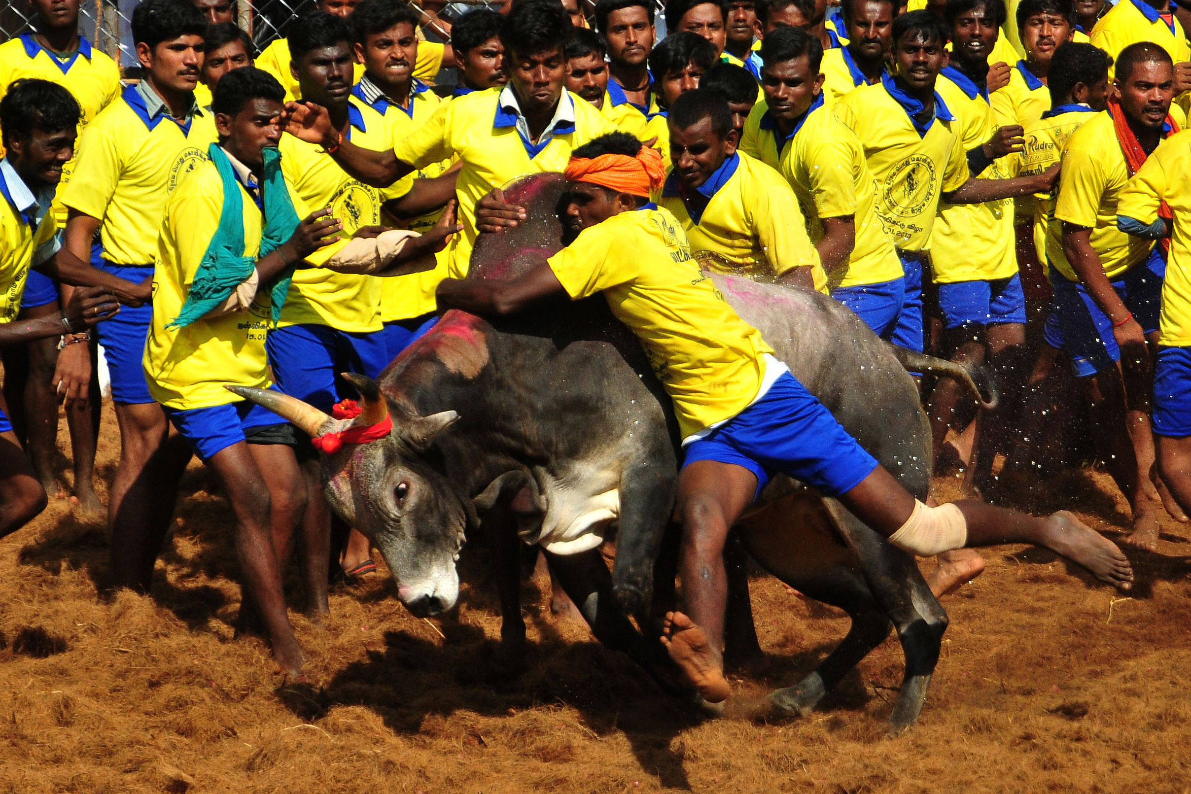Participants attempt to hold down a bull during the traditional bull taming festival called 'Jallikattu' in Palamedu near Madurai, Jan. 15, 2013