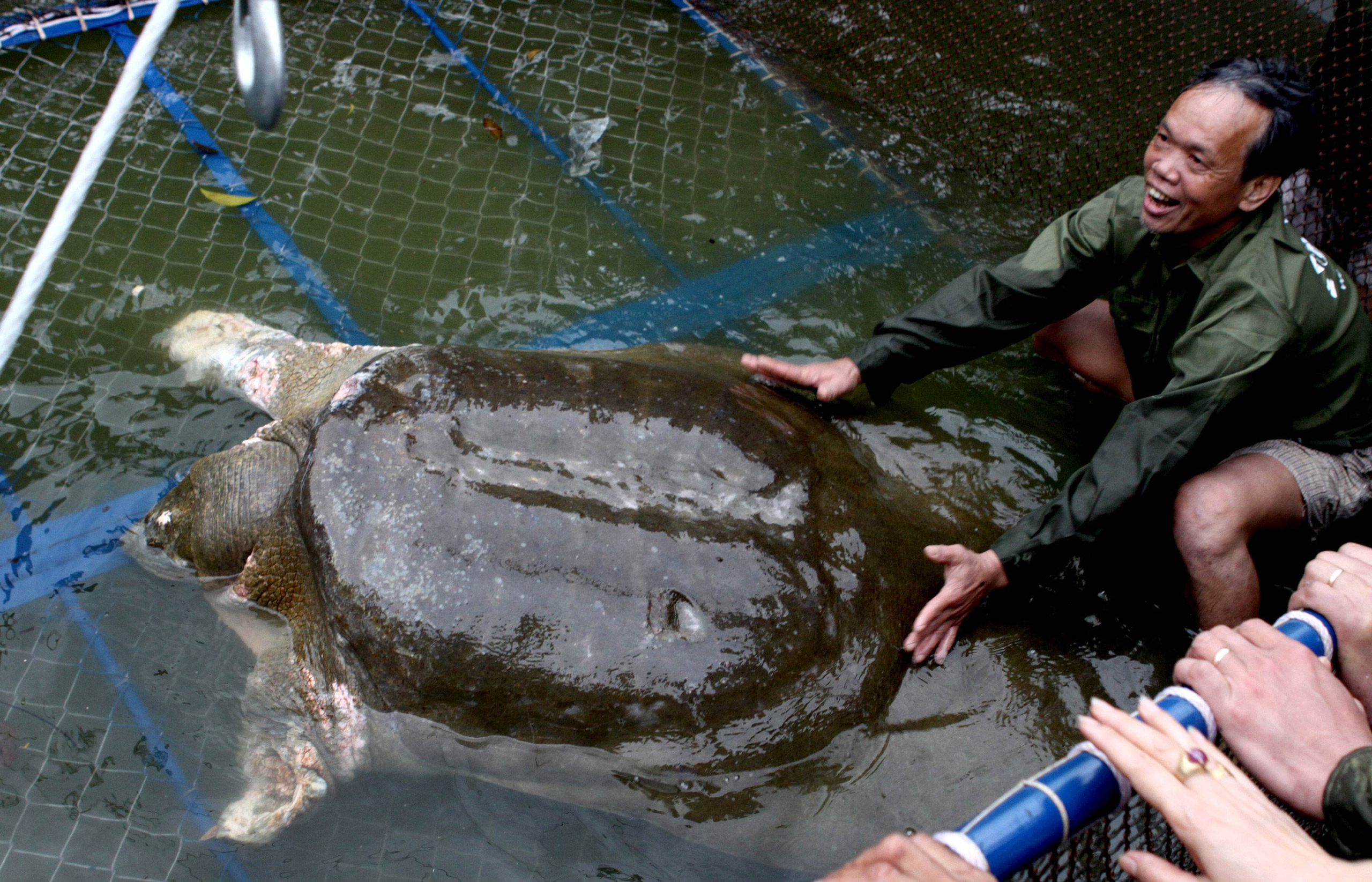 A giant soft-shell turtle (Rafetus swinhoei), considered a sacred symbol of Vietnamese independence, is guided into a cage for a health check at Hoan Kiem lake in Hanoi, on April 3, 2011.