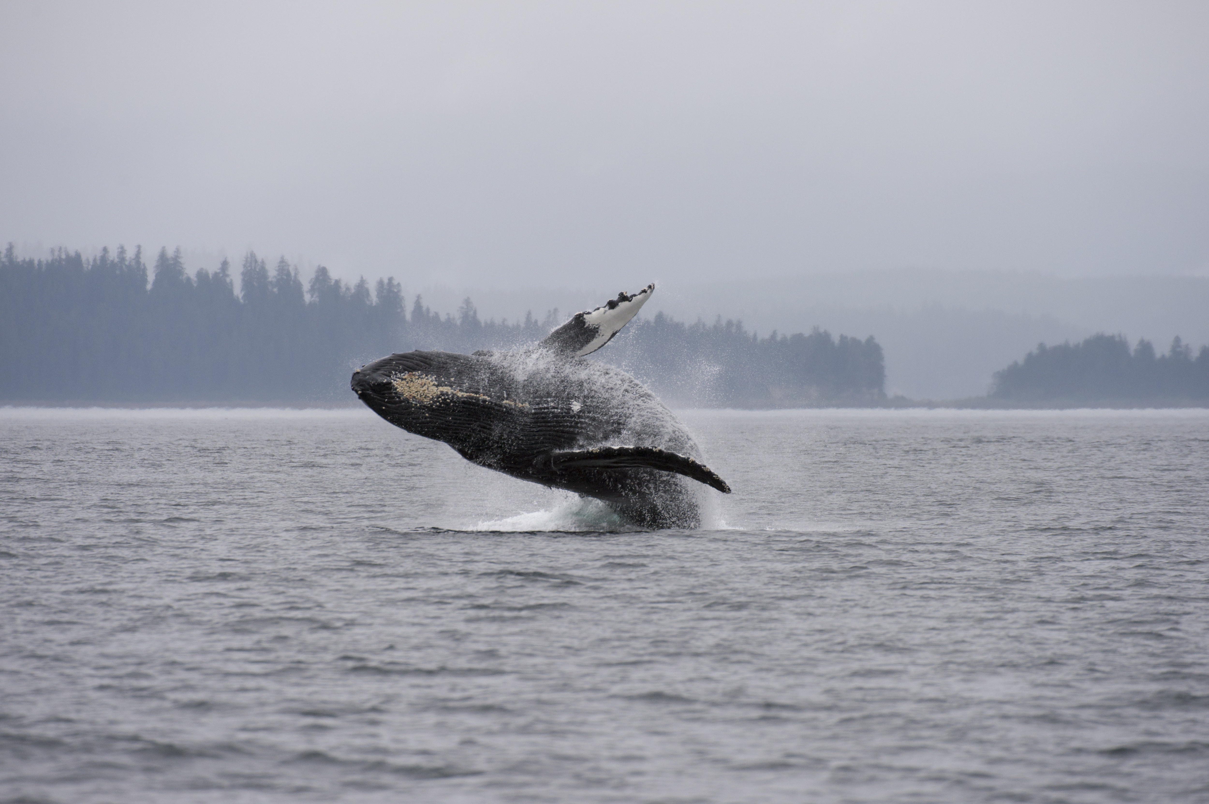 A Humpback whale in the Tongass National Forest, Southeast Alaska in 2013.
