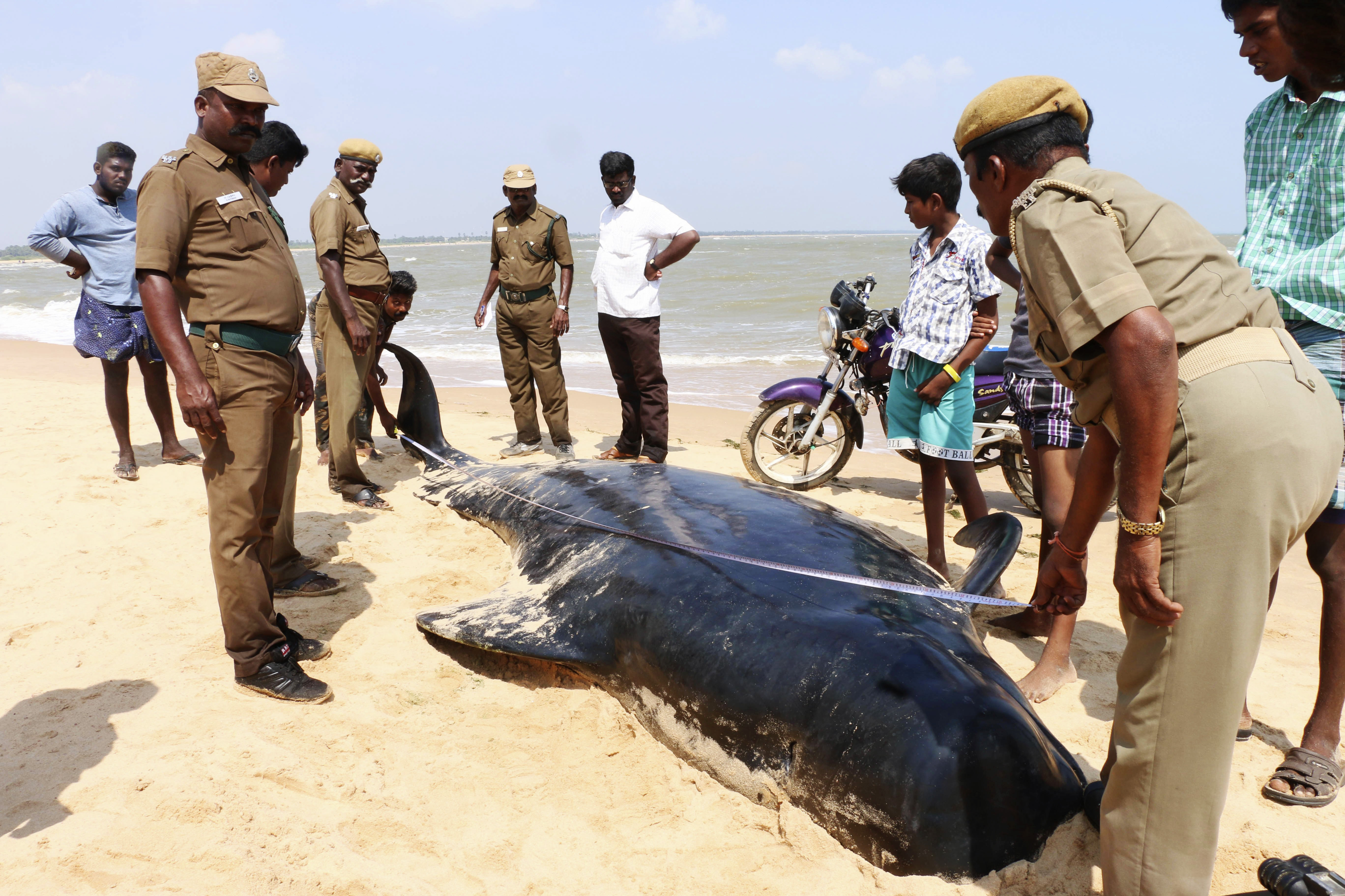 Indian wildlife officials measure one among the dozens of whales that have washed ashore on the Bay of Bengal coast's Manapad beach in Tuticorin district, Tamil Nadu state, India on Tuesday, Jan.12, 2016.