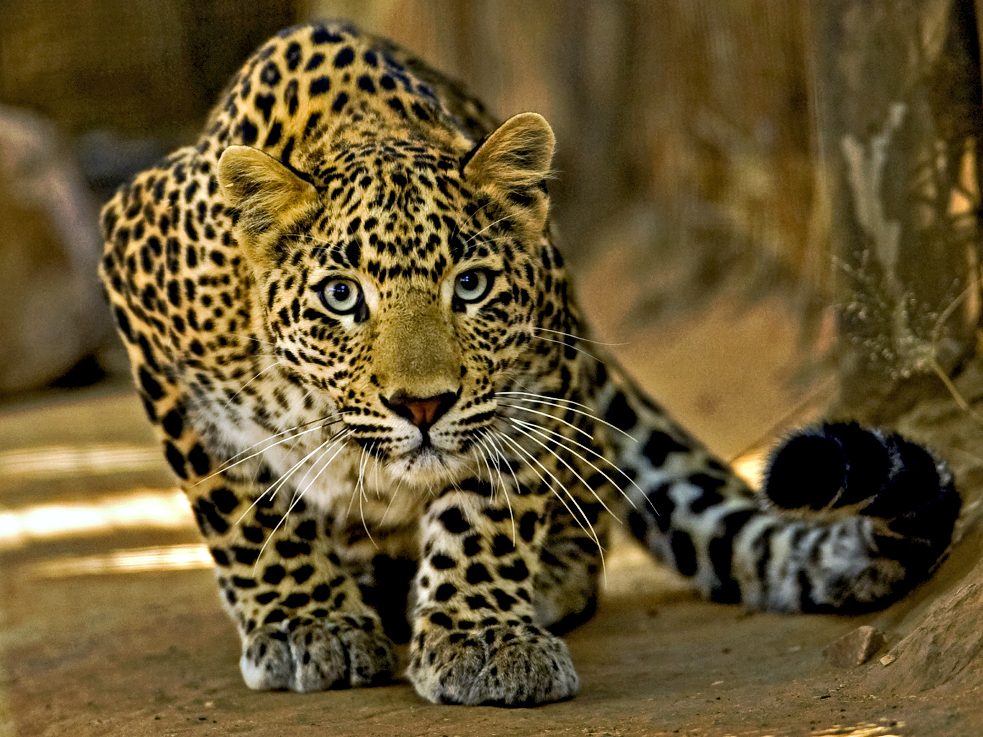 South Africa Prohibits All Leopard Hunting For 2016 Time