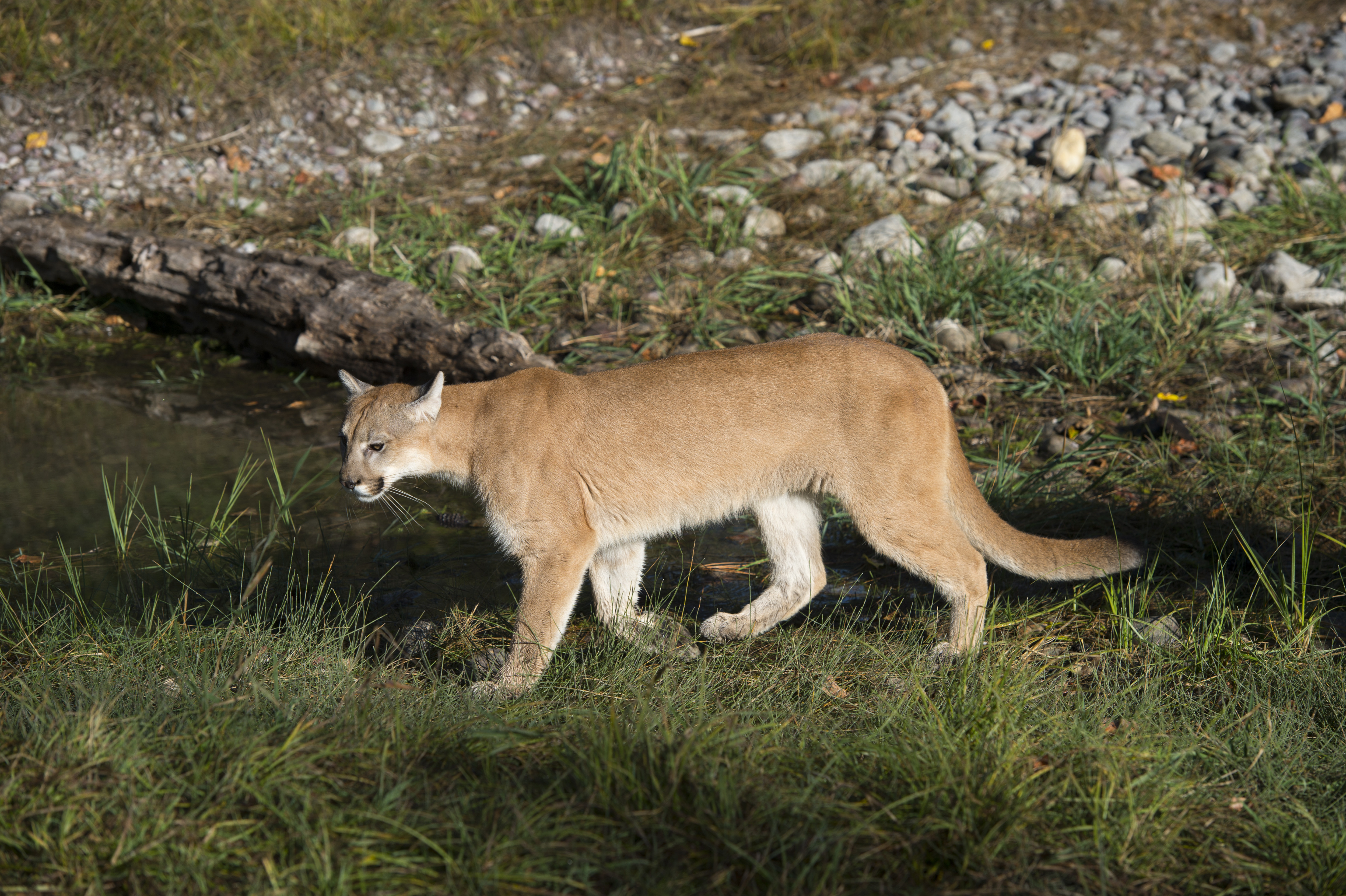 Young cougar (captive), Montana, United States.